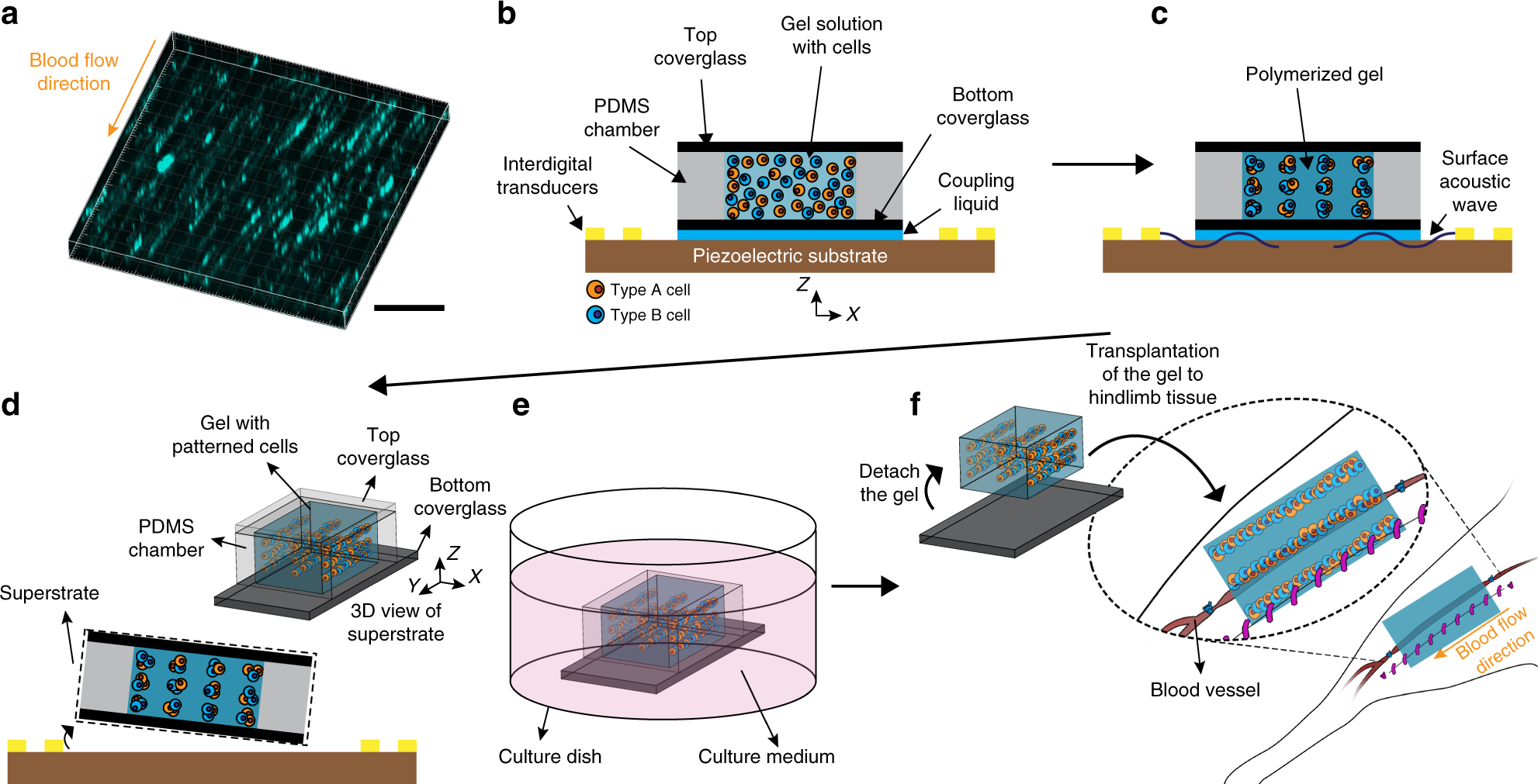 High-resolution acoustophoretic 3D cell patterning to construct
