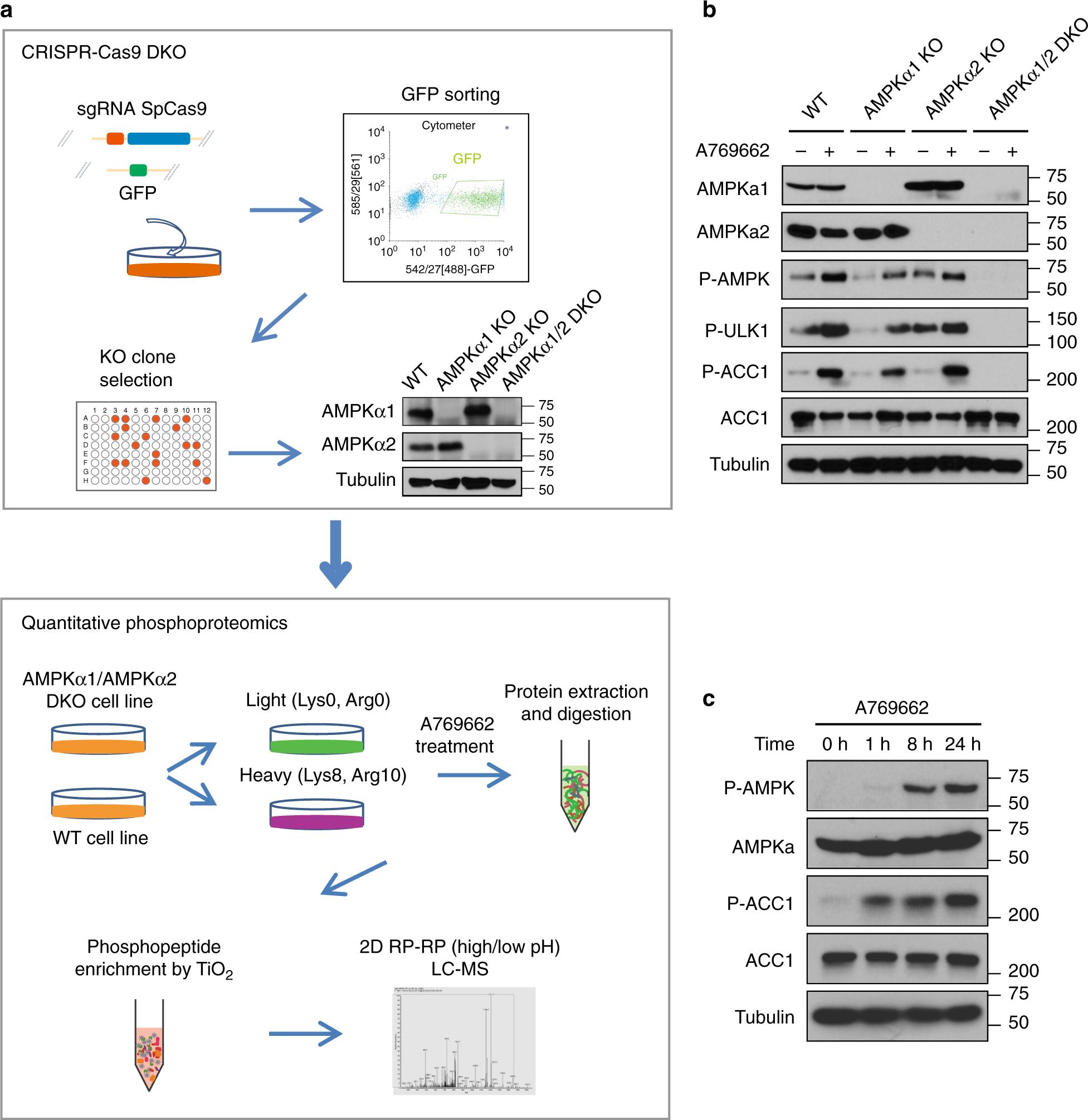 Global phosphoproteomic analysis reveals ARMC10 as an AMPK