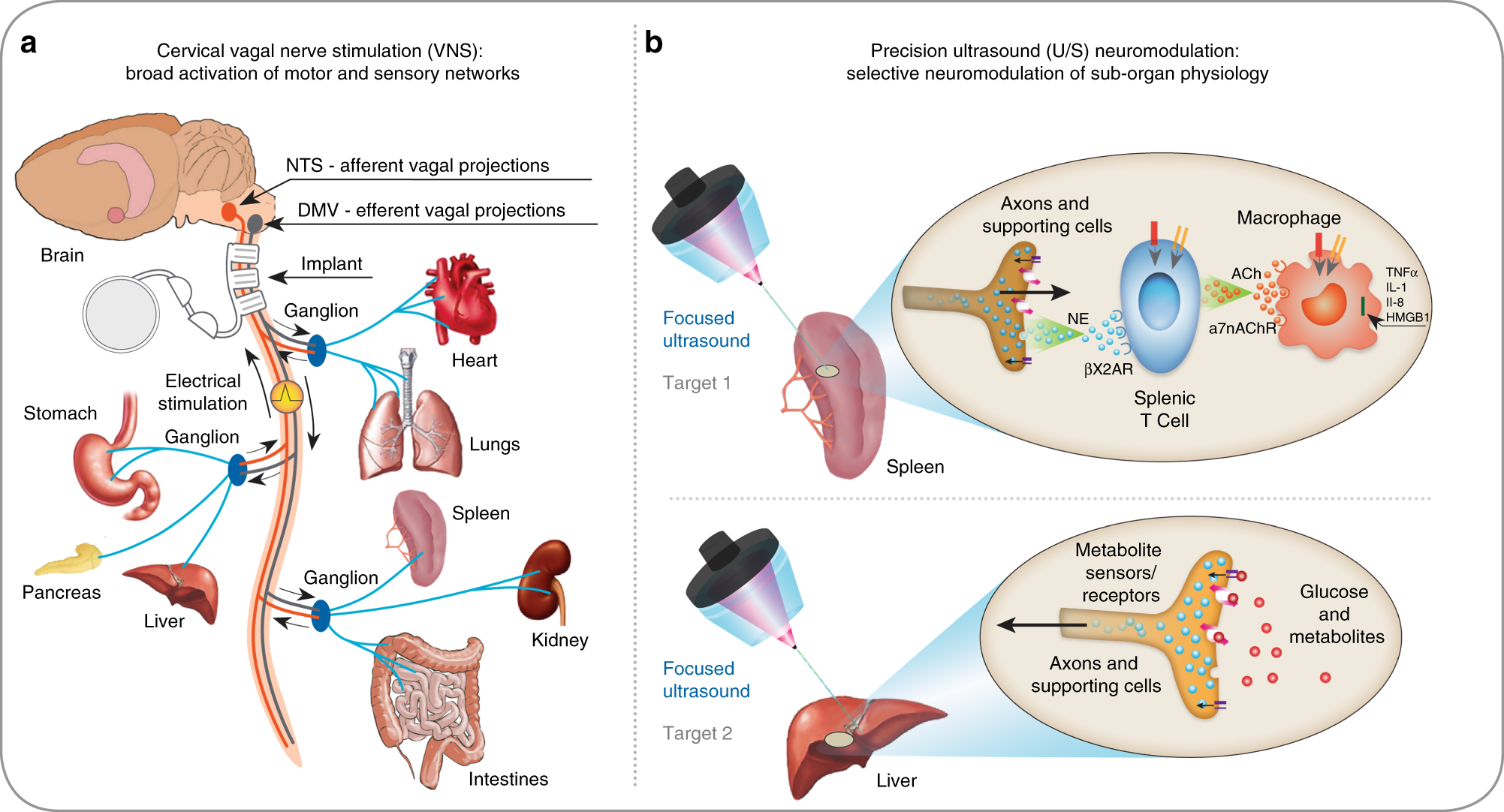 noninvasive sub-organ ultrasound stimulation for targeted neuromodulation |  nature communications