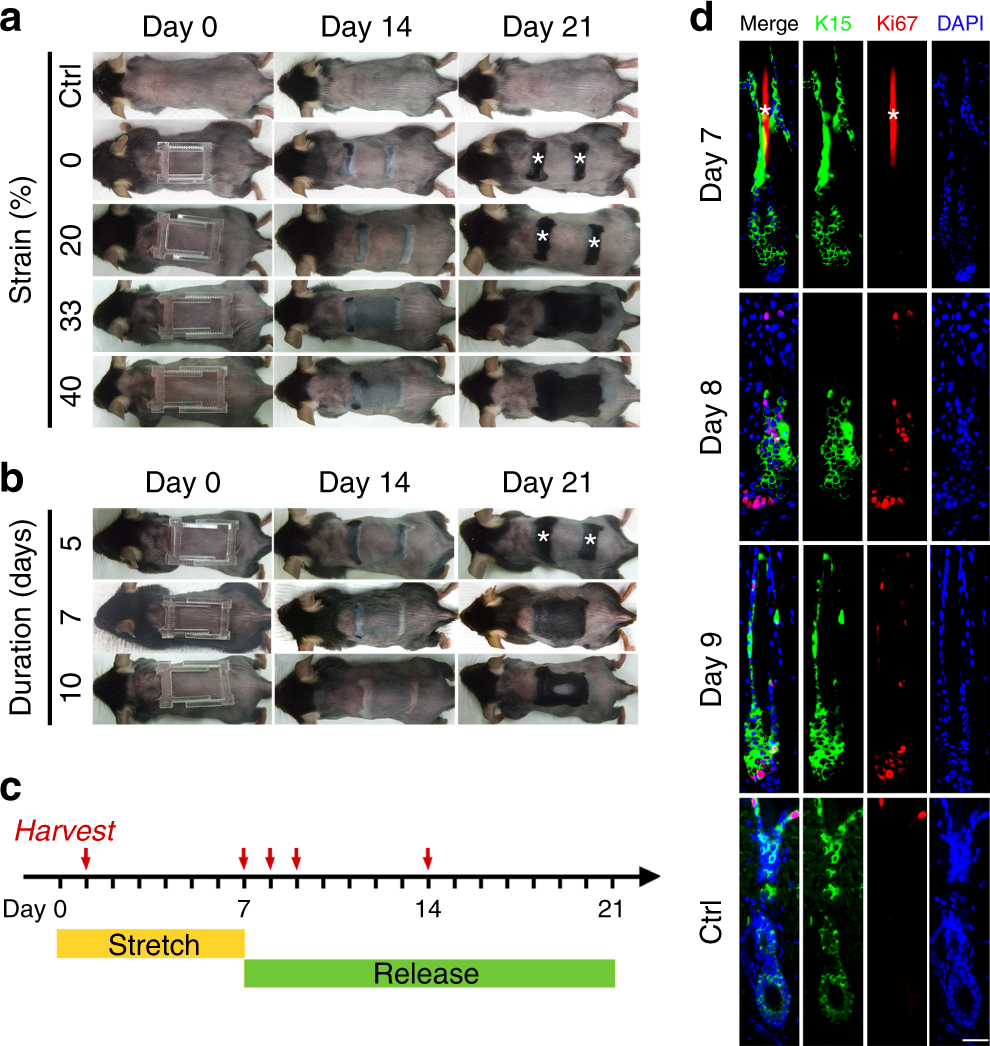 Mechanical stretch induces hair regeneration through the