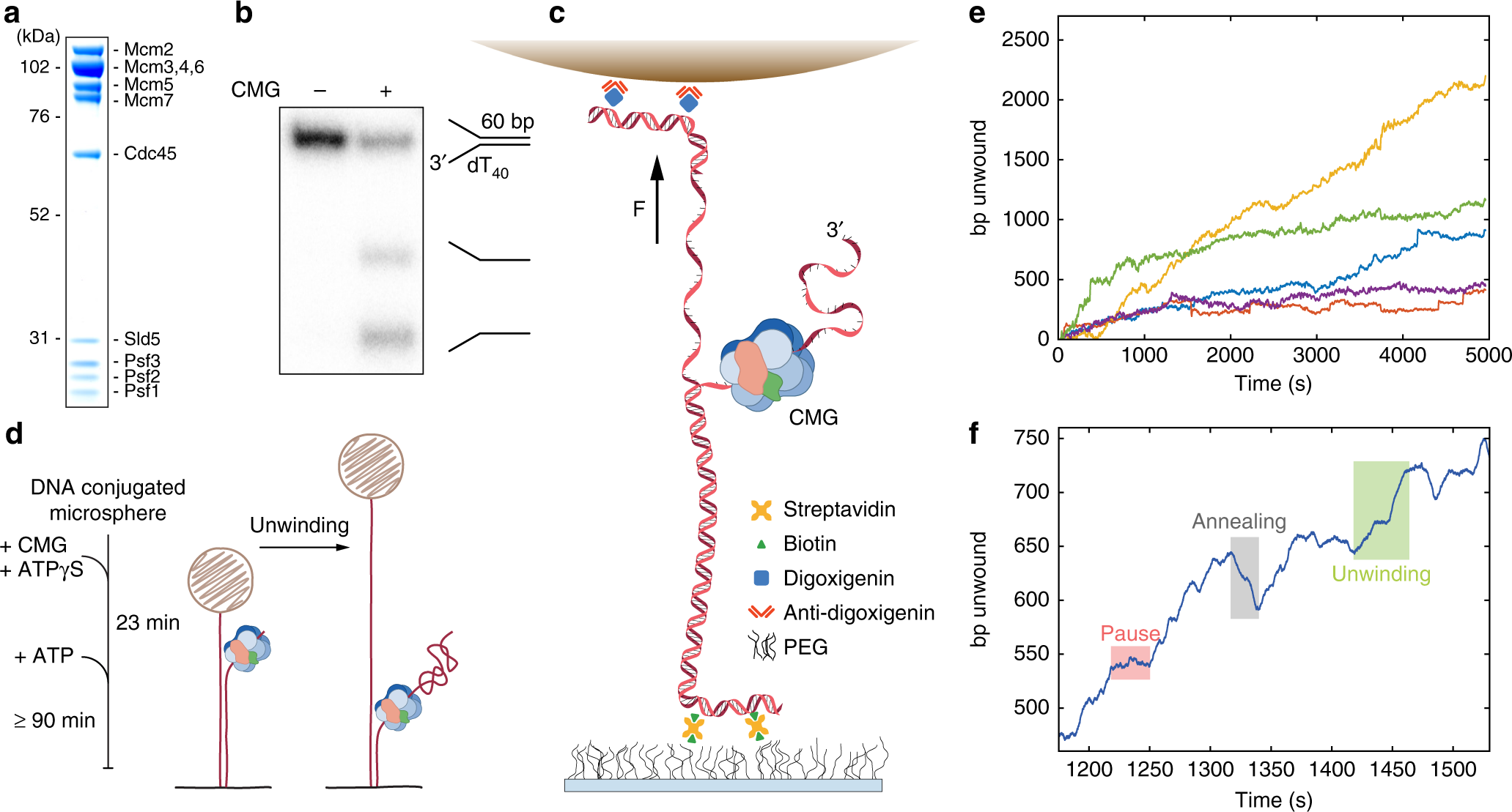 The mechanism of DNA unwinding by the eukaryotic replicative