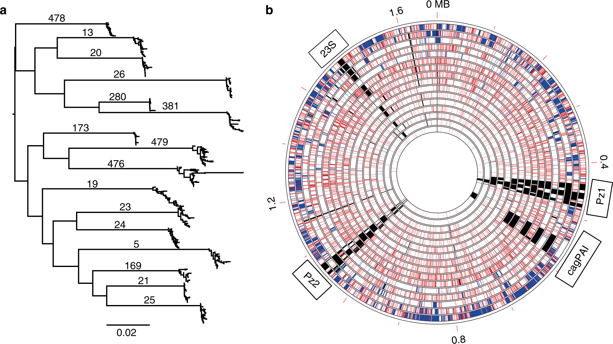 Within-host evolution of Helicobacter pylori shaped by niche