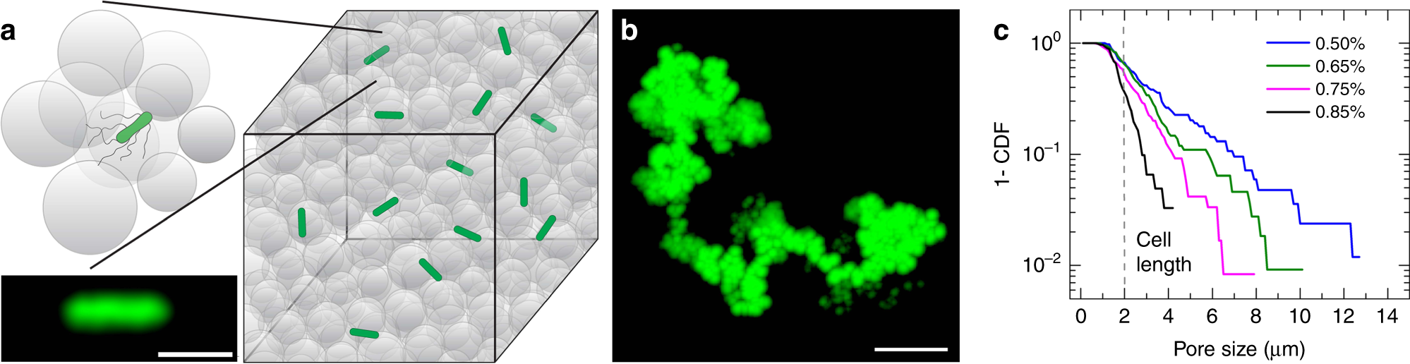 Bacterial hopping and trapping in porous media | Nature Communications