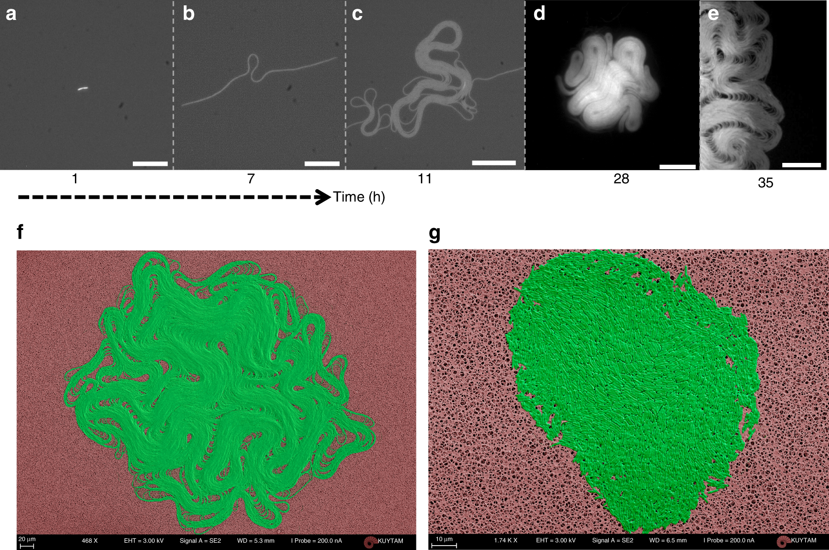 Emergence of active nematics in chaining bacterial biofilms | Nature