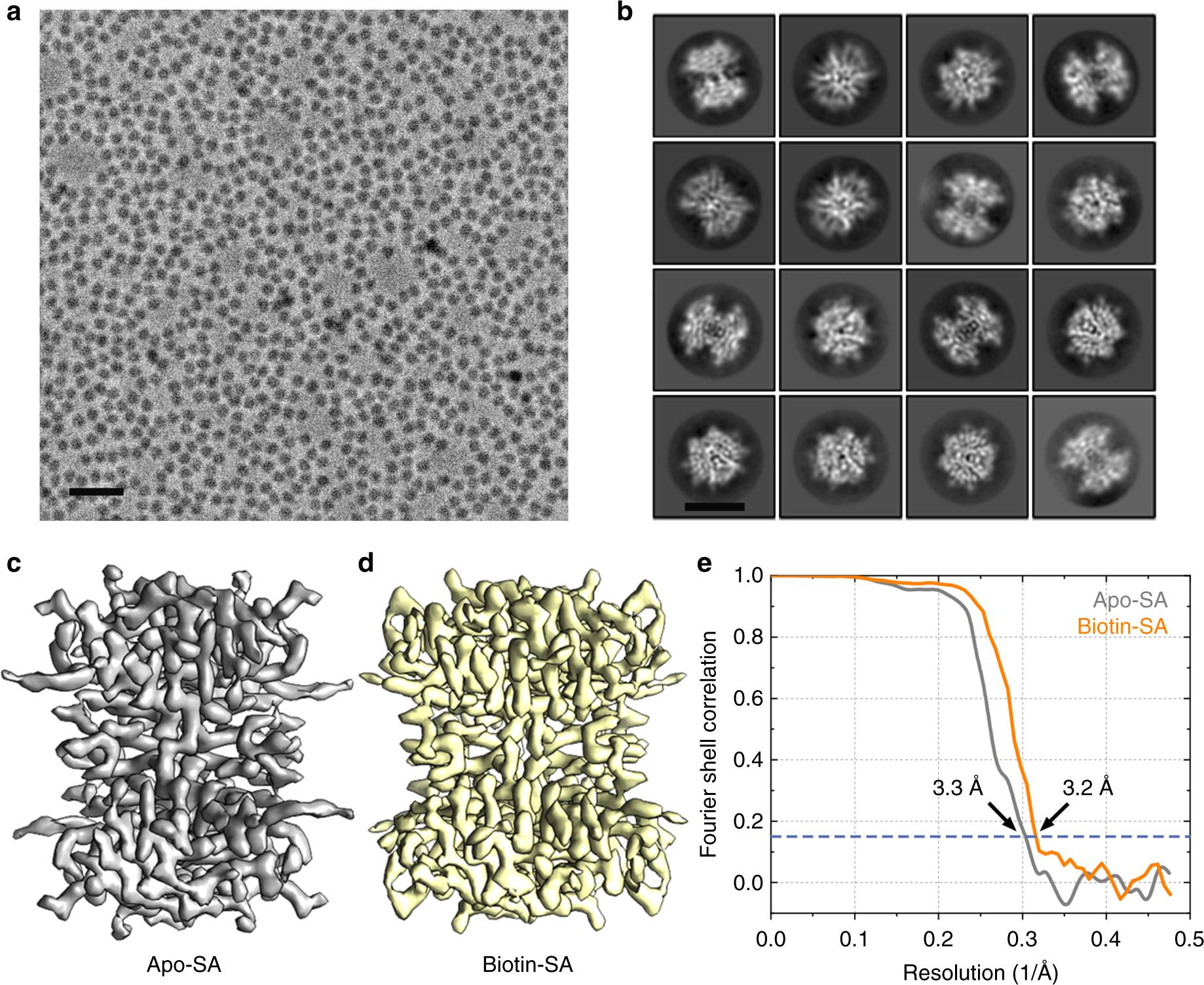 Single particle cryo-EM reconstruction of 52 kDa