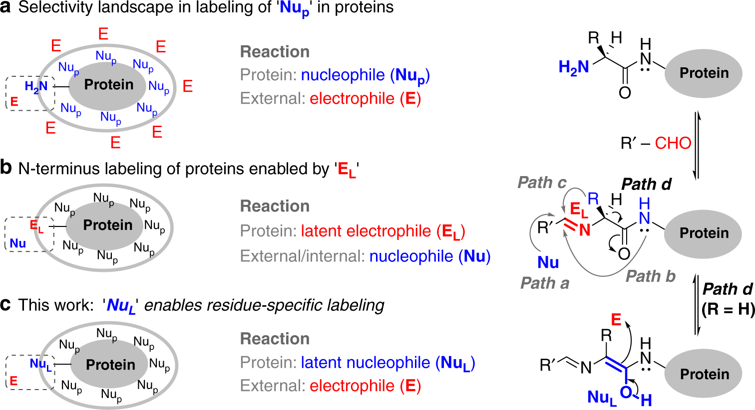 Single Site Glycine Specific Labeling Of Proteins Nature
