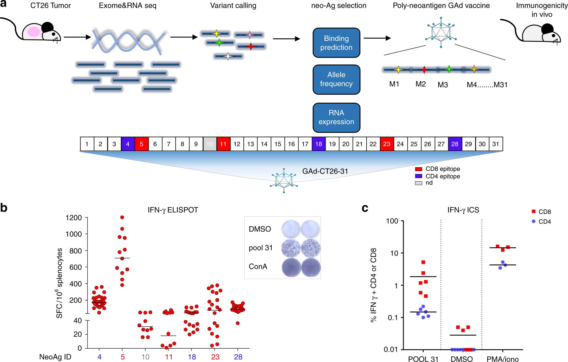 Adenoviral vaccine targeting multiple neoantigens as