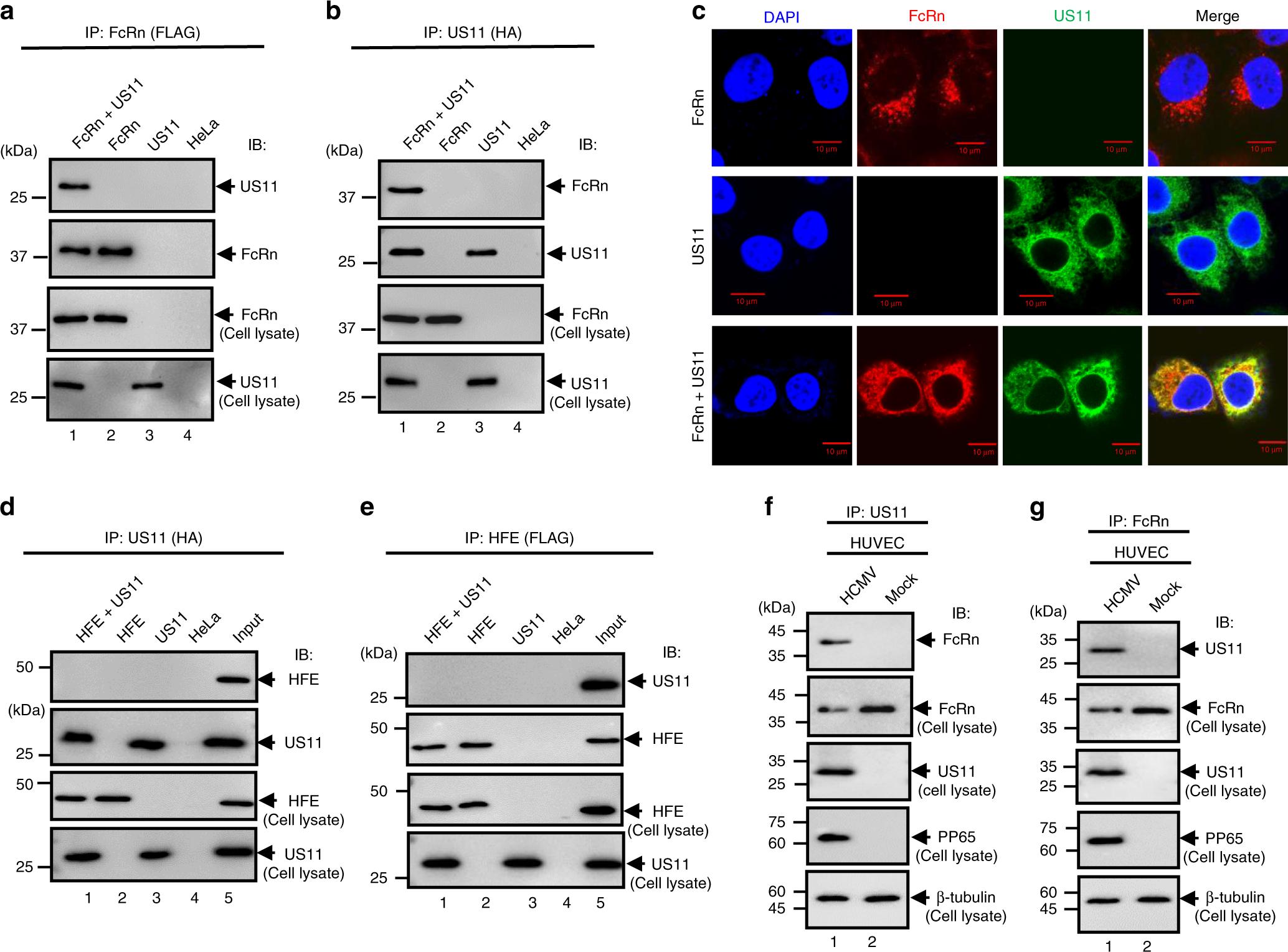 Human cytomegalovirus evades antibody-mediated immunity