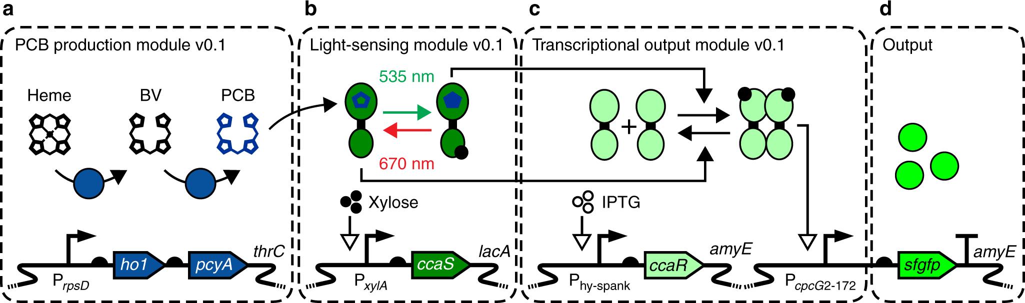 Optogenetic control of Bacillus subtilis gene expression | Nature