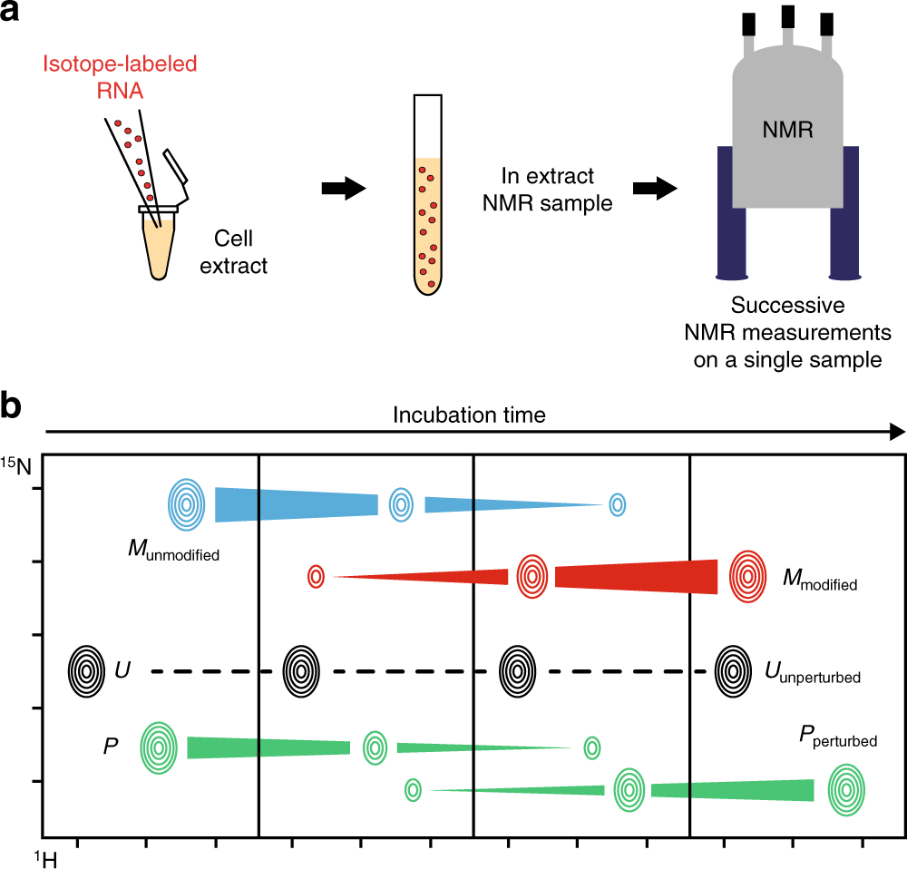 Time-resolved NMR monitoring of tRNA maturation | Nature