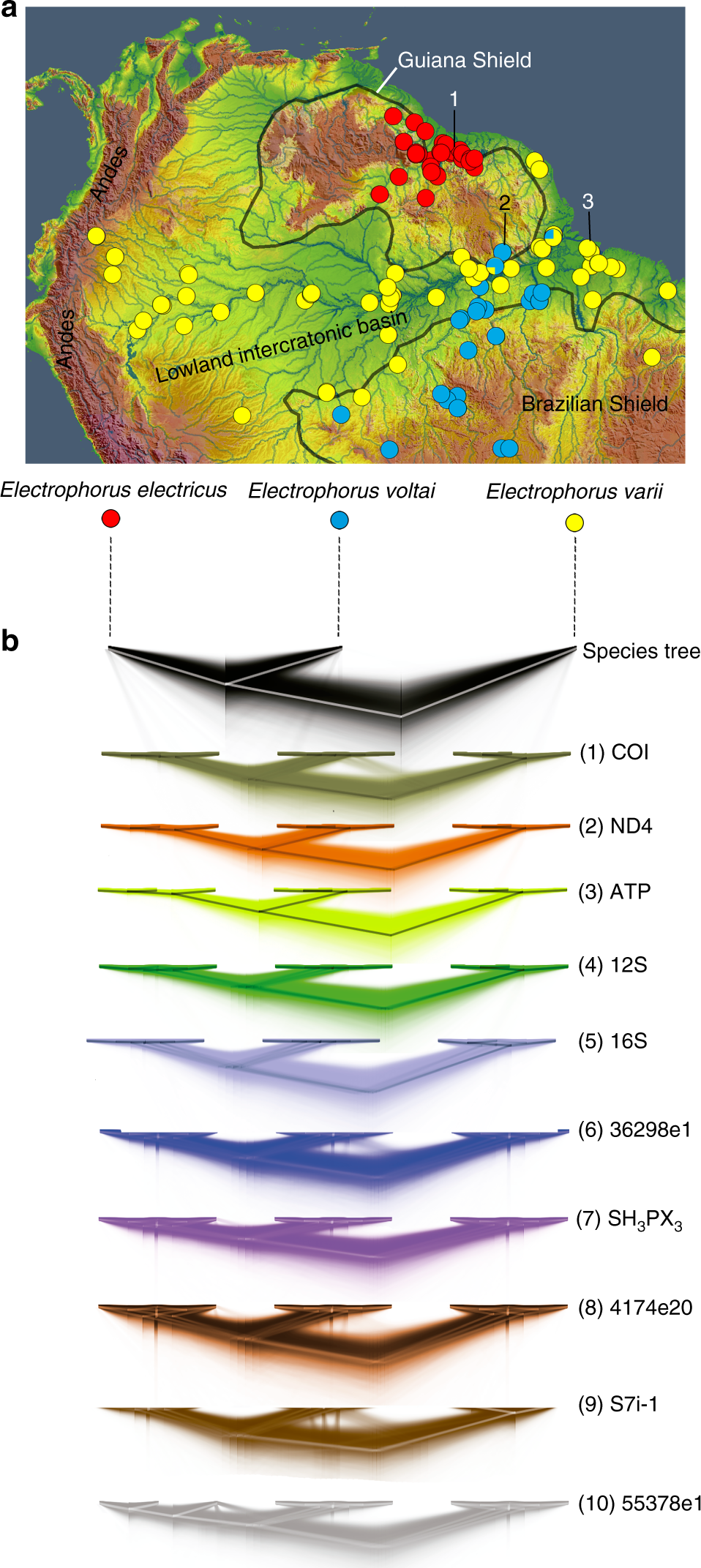 Unexpected species diversity in electric eels with a
