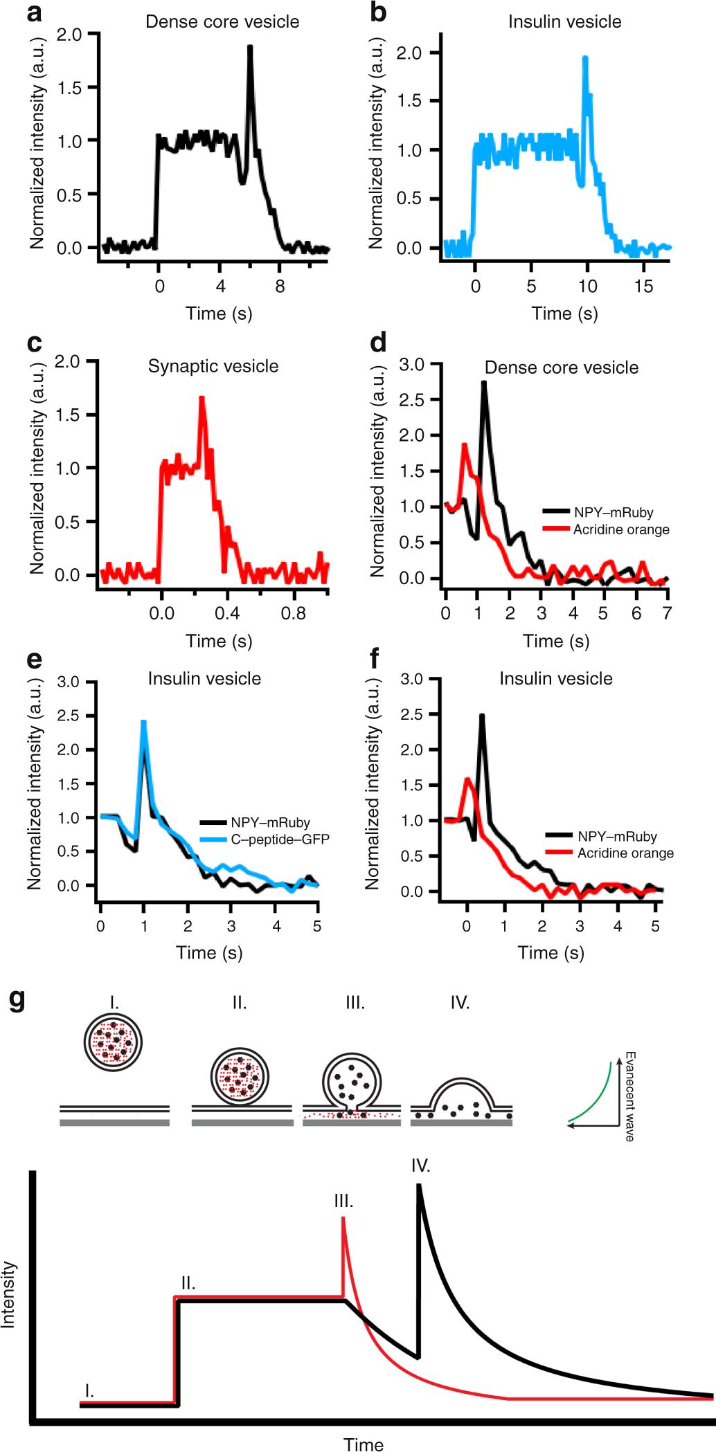 In vitro fusion of single synaptic and dense core vesicles