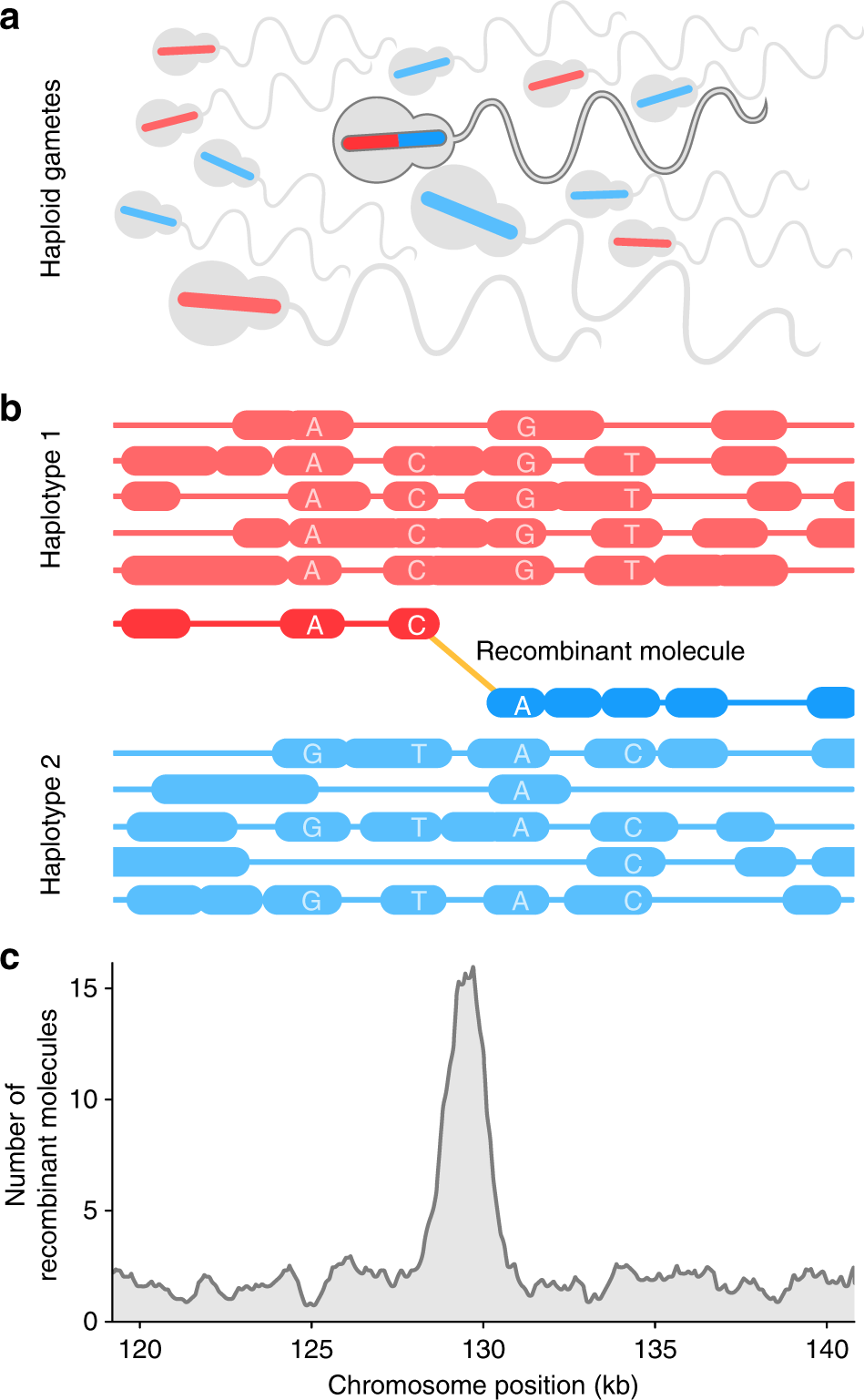 Genome Wide Recombination Map Construction From Single Individuals