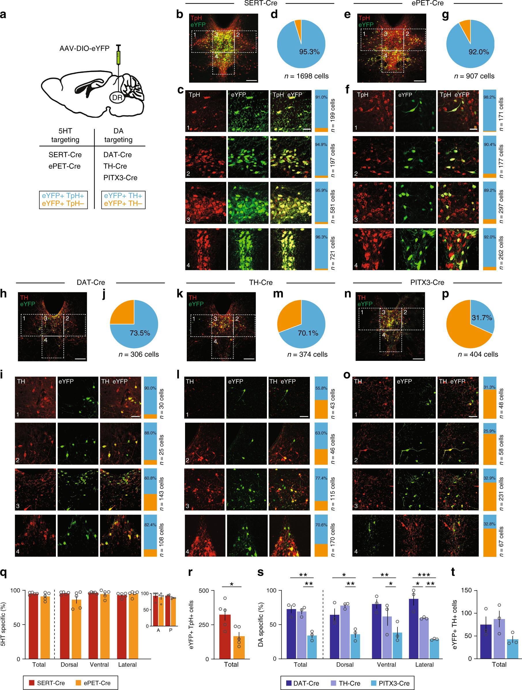 Characterization of transgenic mouse models targeting neuromodulatory