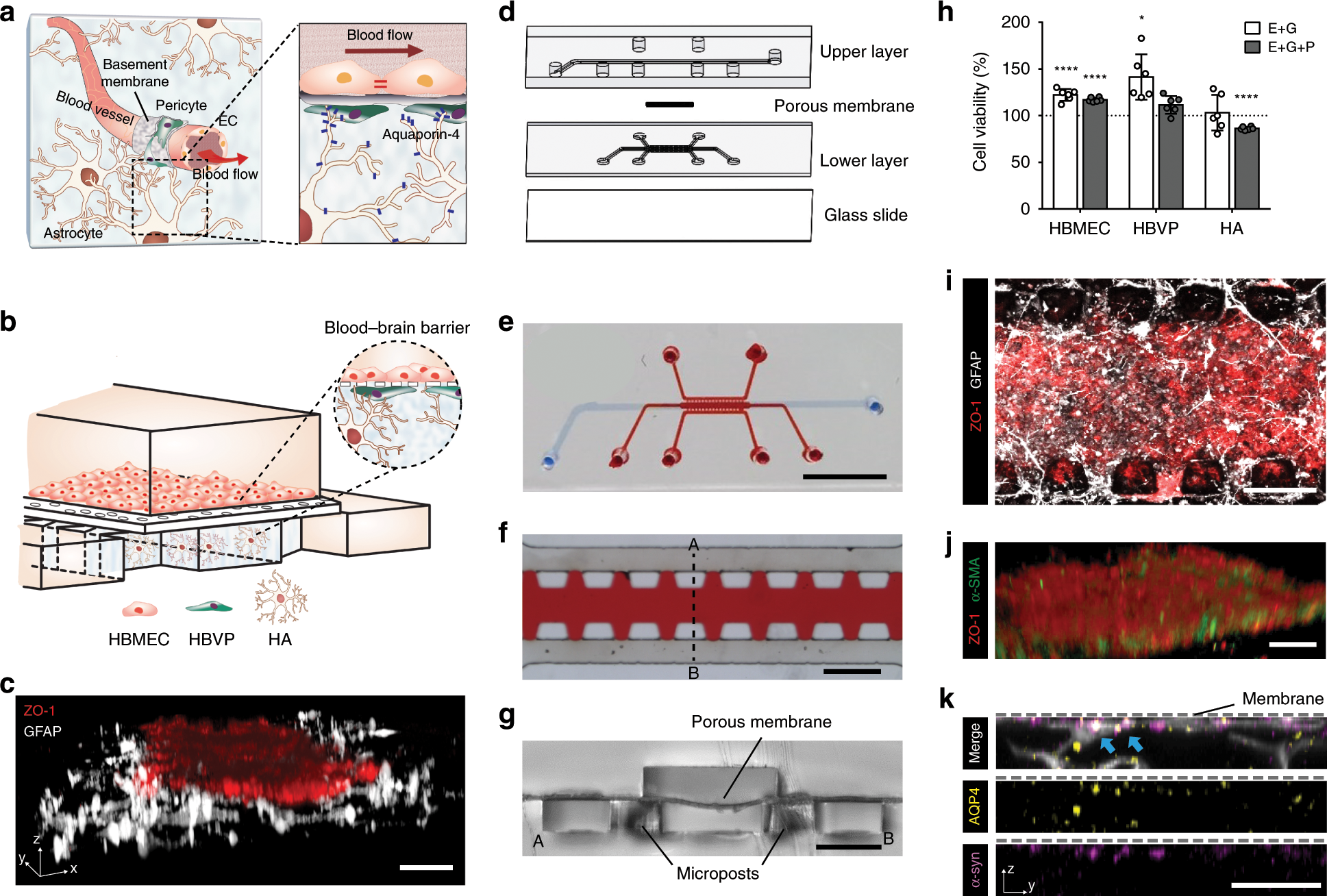 Overlooked Brain Cells May Have Leading >> Microengineered Human Blood Brain Barrier Platform For