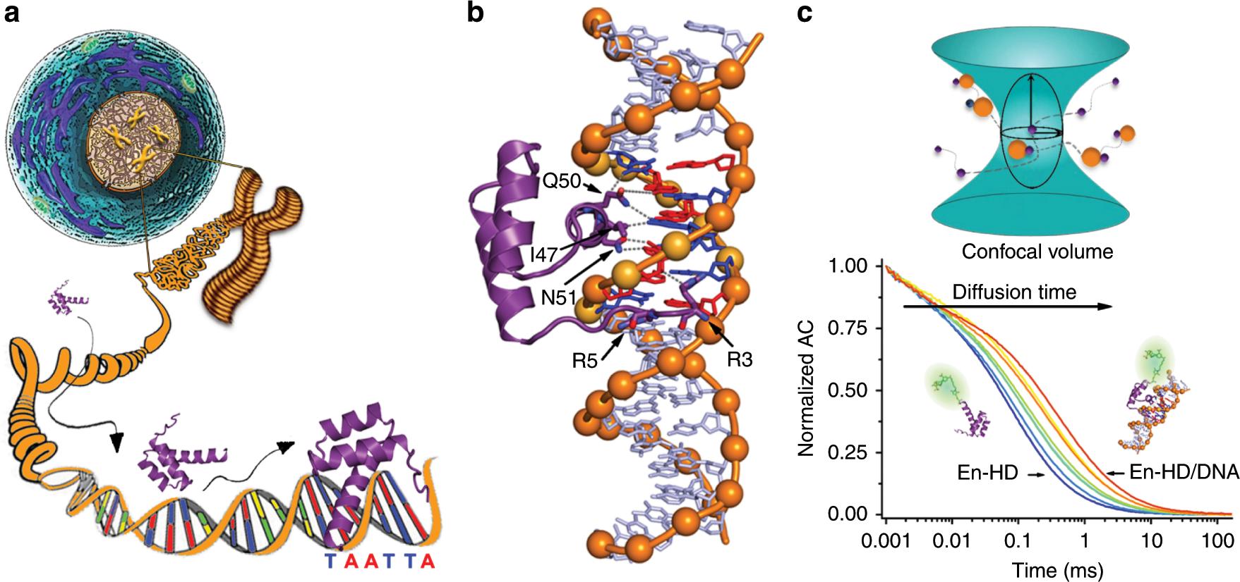 Eukaryotic Transcription Factors Can