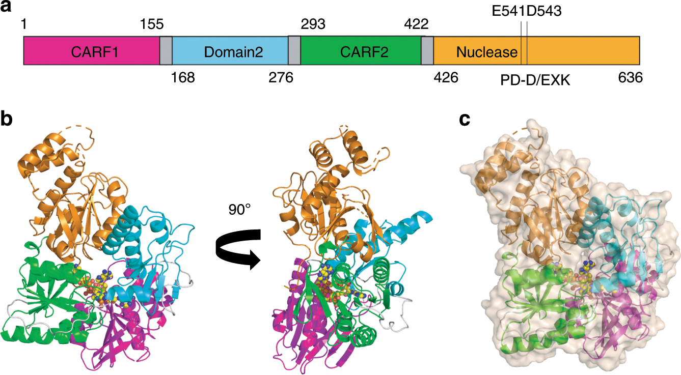 Structure and mechanism of a Type III CRISPR defence DNA nuclease acti