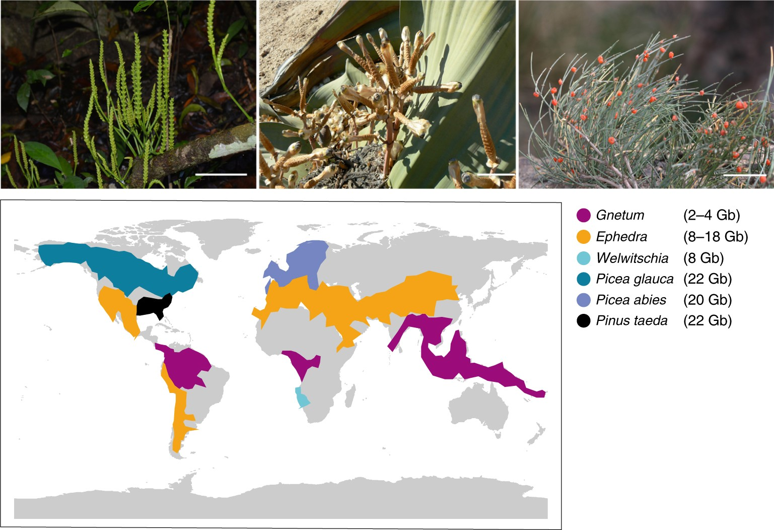 A genome for gnetophytes and early evolution of seed plants