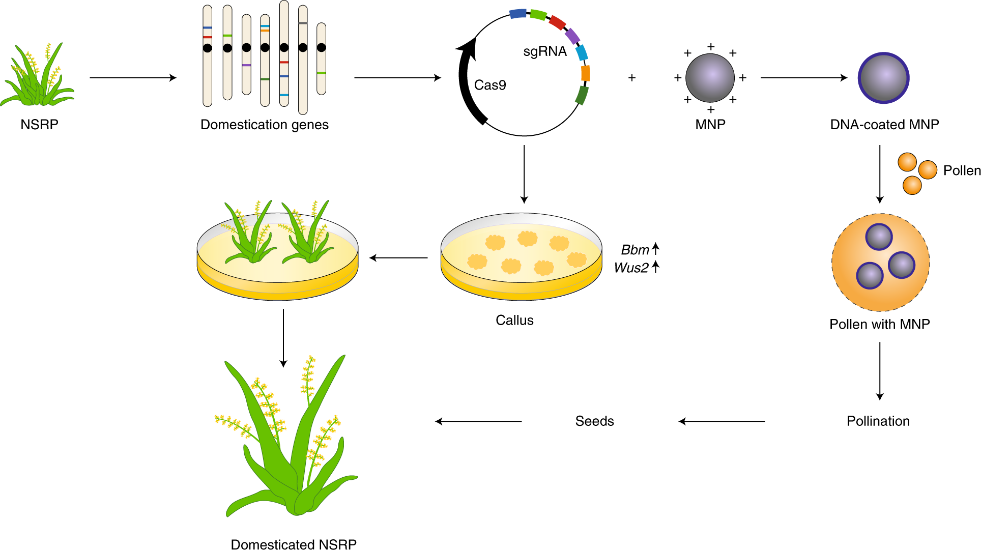 Developing naturally stress-resistant crops for a sustainable