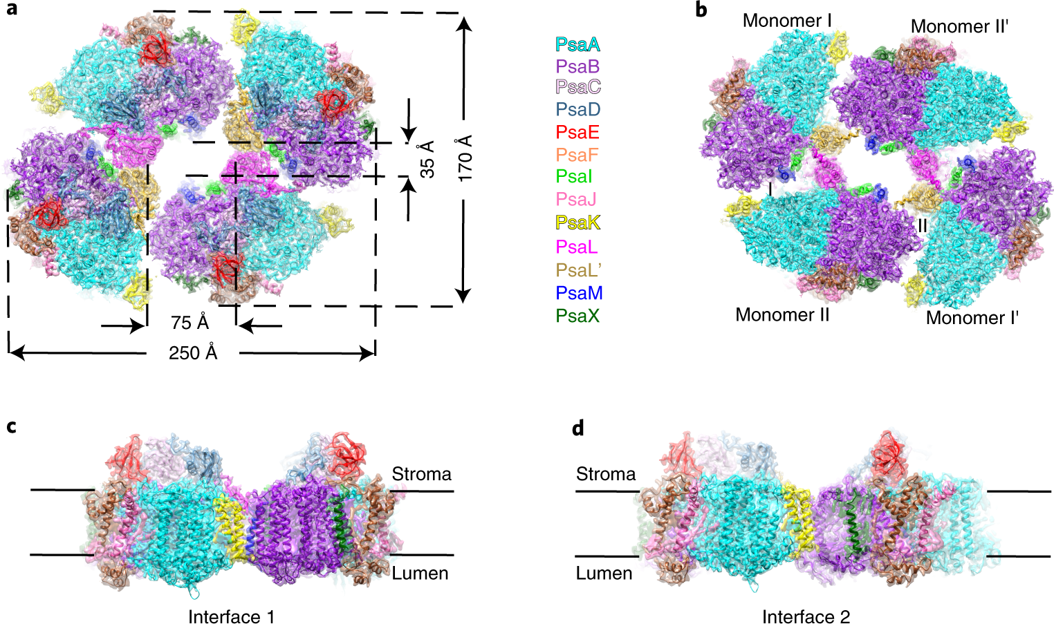 Structural and functional insights into the tetrameric photosystem I f