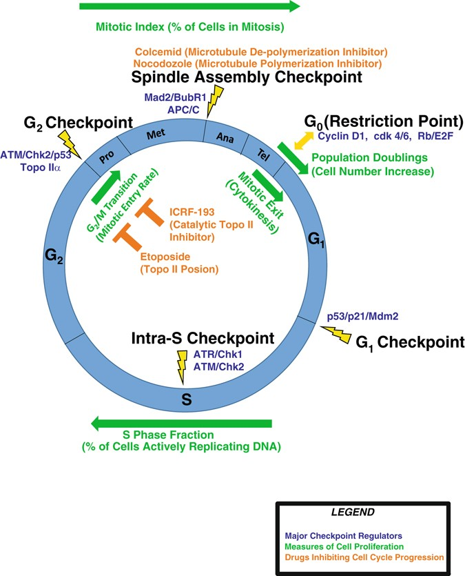 Patterns of cell cycle checkpoint deregulation associated