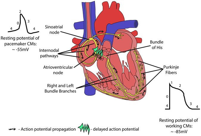 Restoring Heart Function And Electrical Integrity Closing The