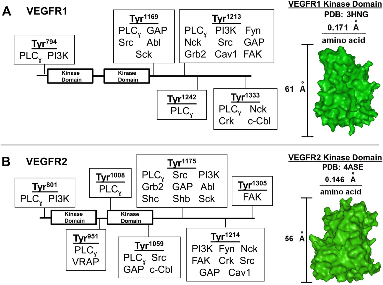 VEGFR1 promotes cell migration and proliferation through PLCγ and