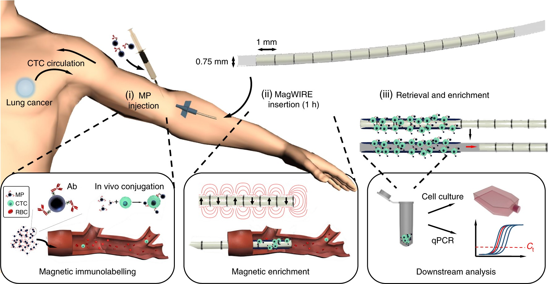 An Intravascular Magnetic Wire For The High Throughput Retrieval Of Vortex Flex Resources All About Flexible Circuits Circulating Tumour Cells In Vivo Nature Biomedical Engineering