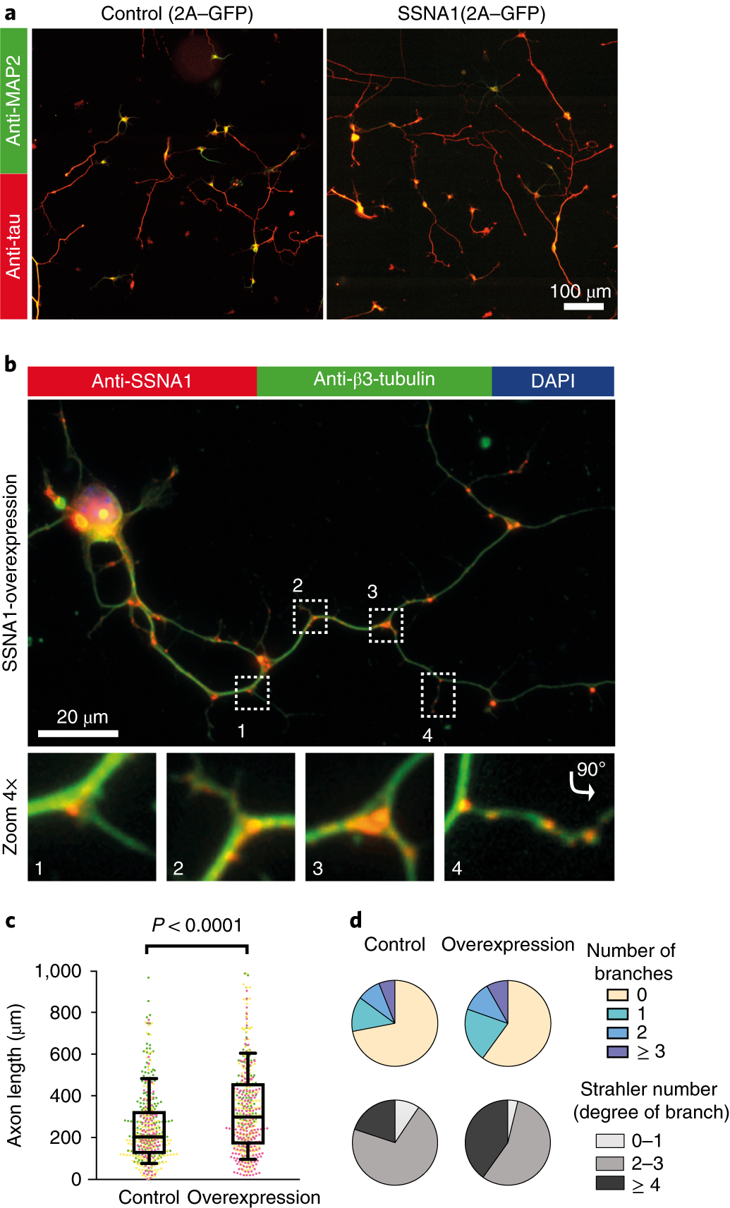 Direct induction of microtubule branching by microtubule nucleation