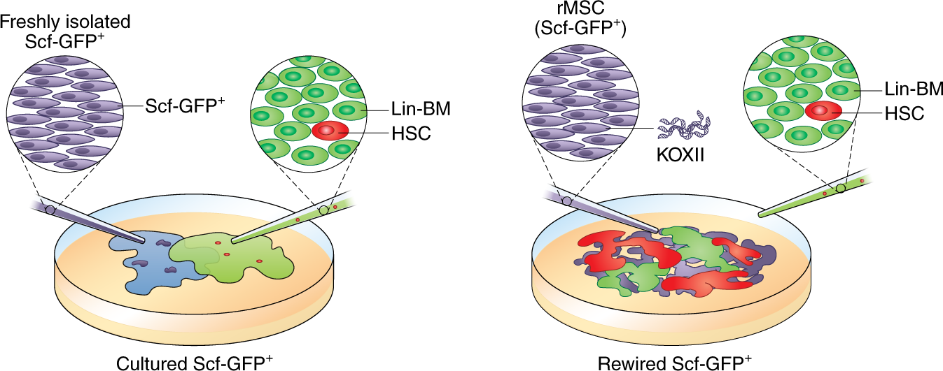 Niche cells rewired to maintain HSCs ex vivo | Nature Cell