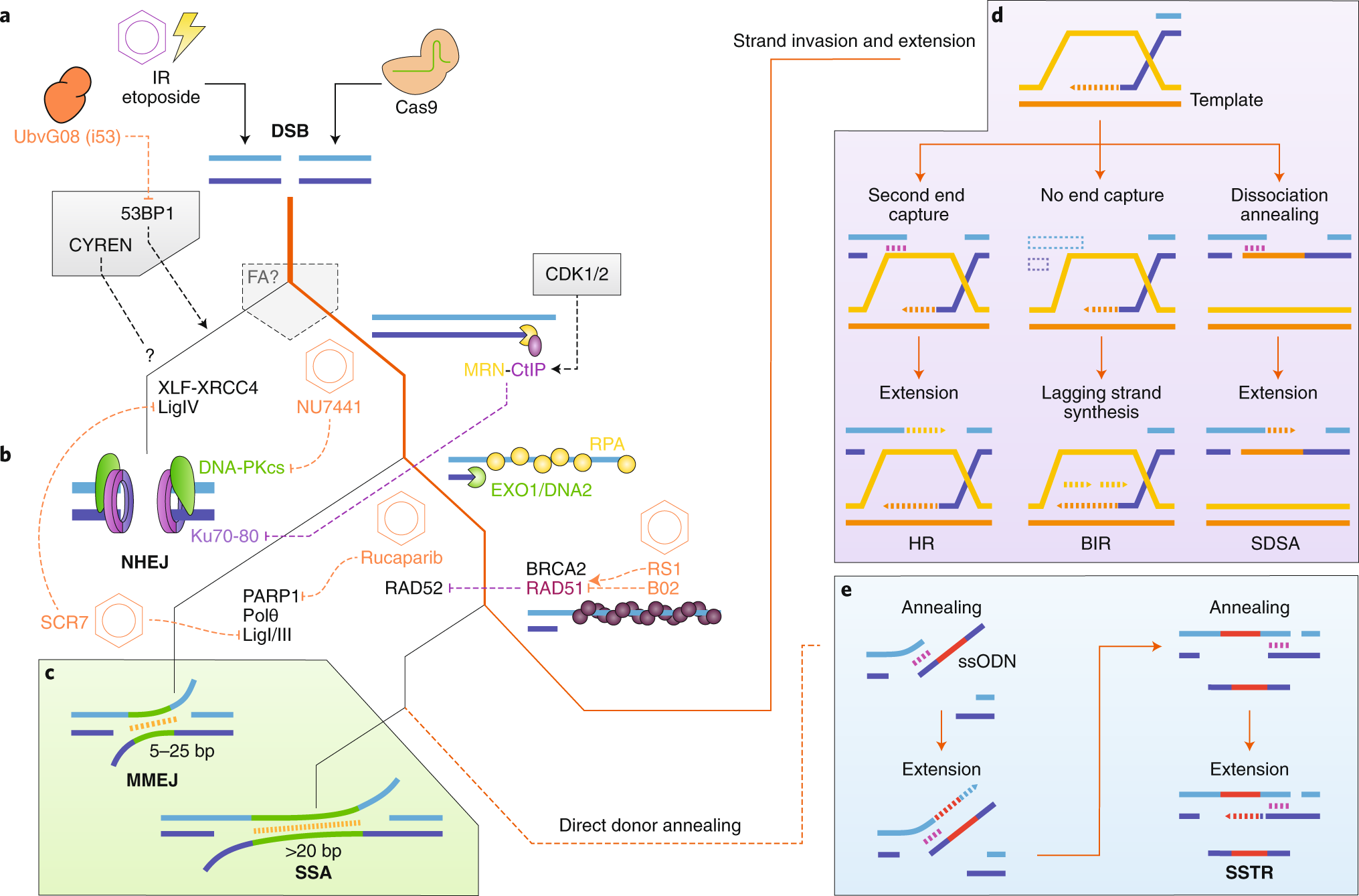 Advances in genome editing through control of DNA repair