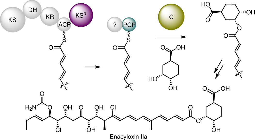 A dual transacylation mechanism for polyketide synthase chain release