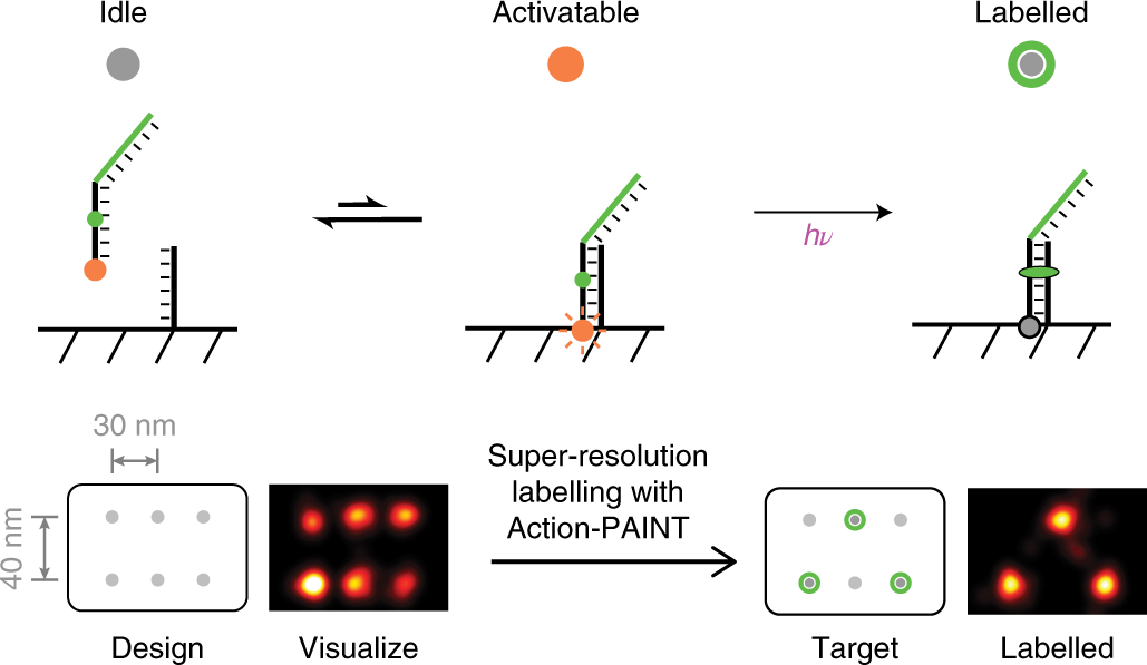 Super-resolution labelling with Action-PAINT