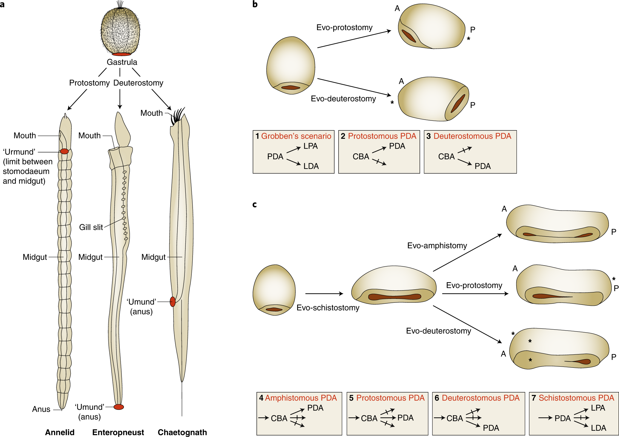 Evolution Of The Bilaterian Mouth And Anus Nature Ecology Evolution