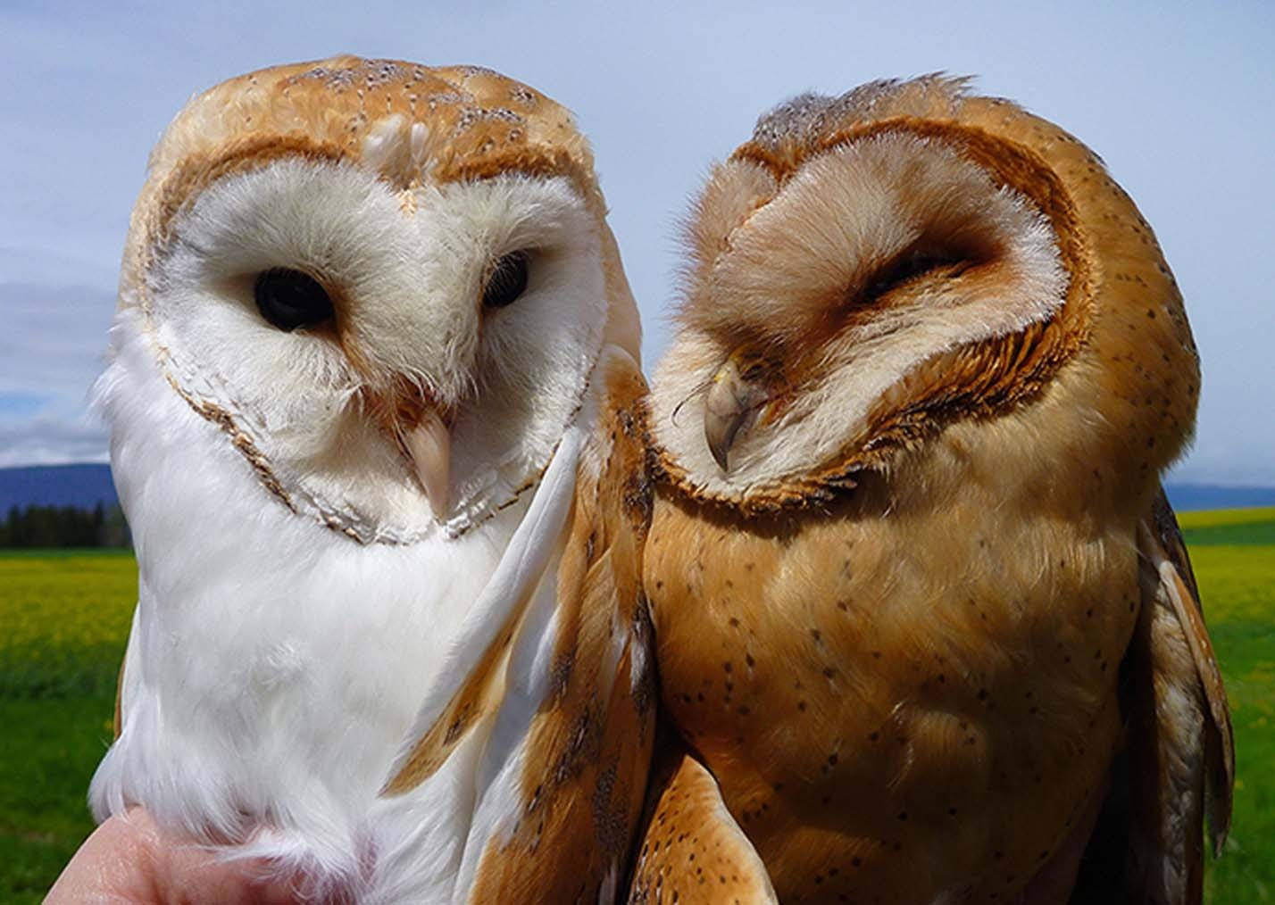 Fearsome white owls