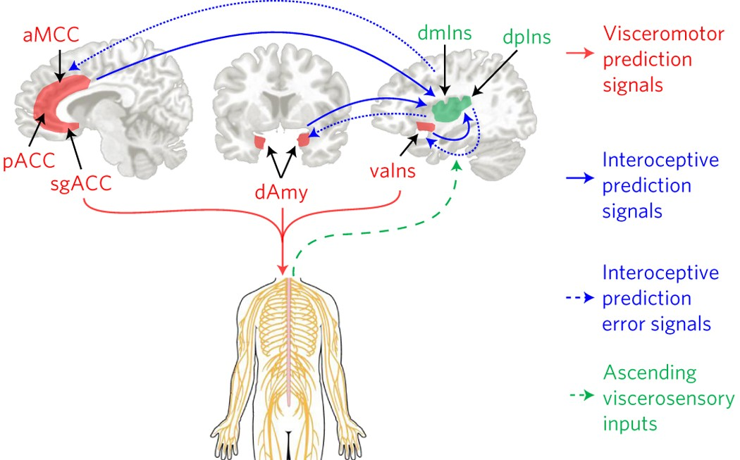 Evidence for a large-scale brain system supporting allostasis and  interoception in humans | Nature Human Behaviour