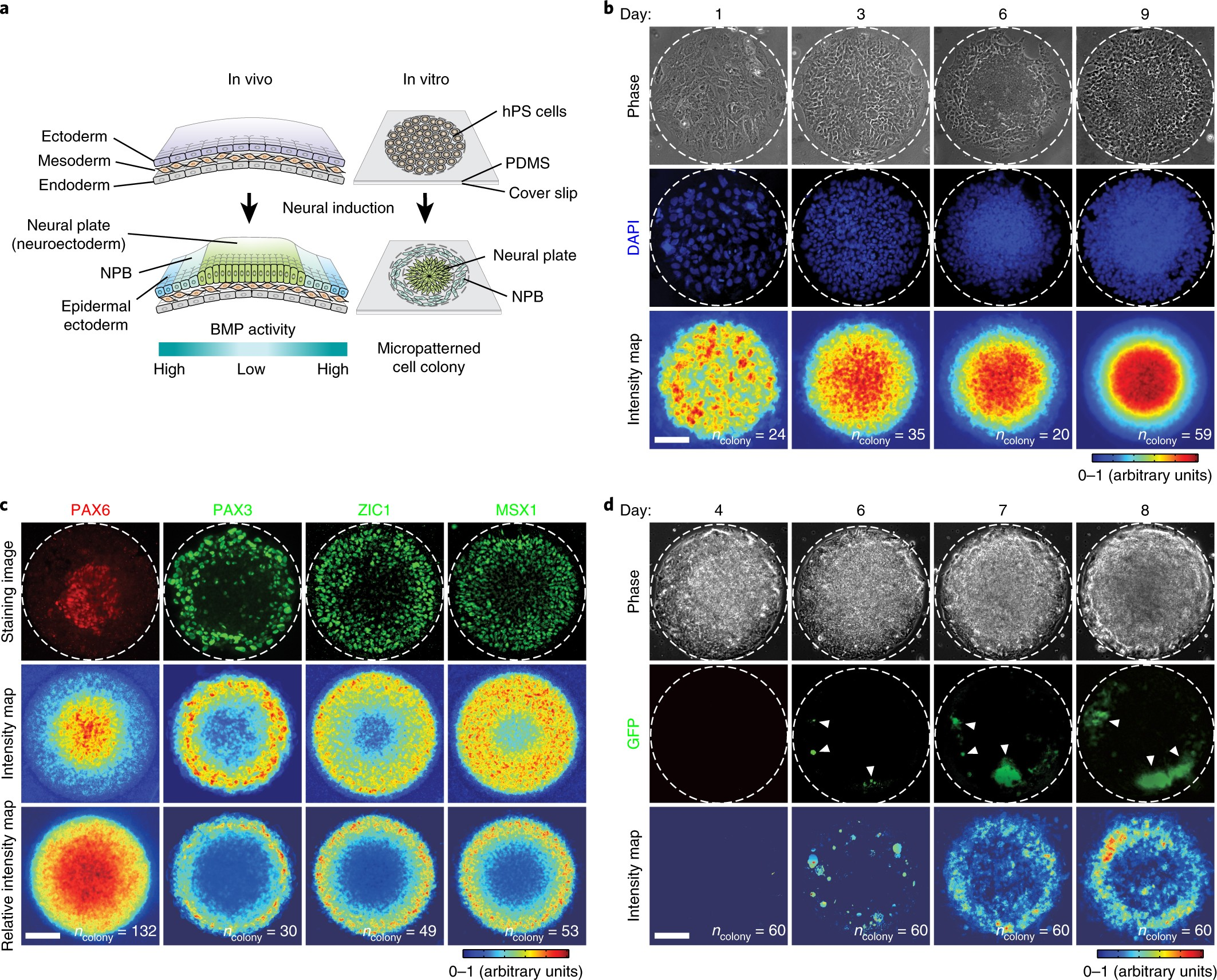 c264230e2ae Mechanics-guided embryonic patterning of neuroectoderm tissue from human  pluripotent stem cells