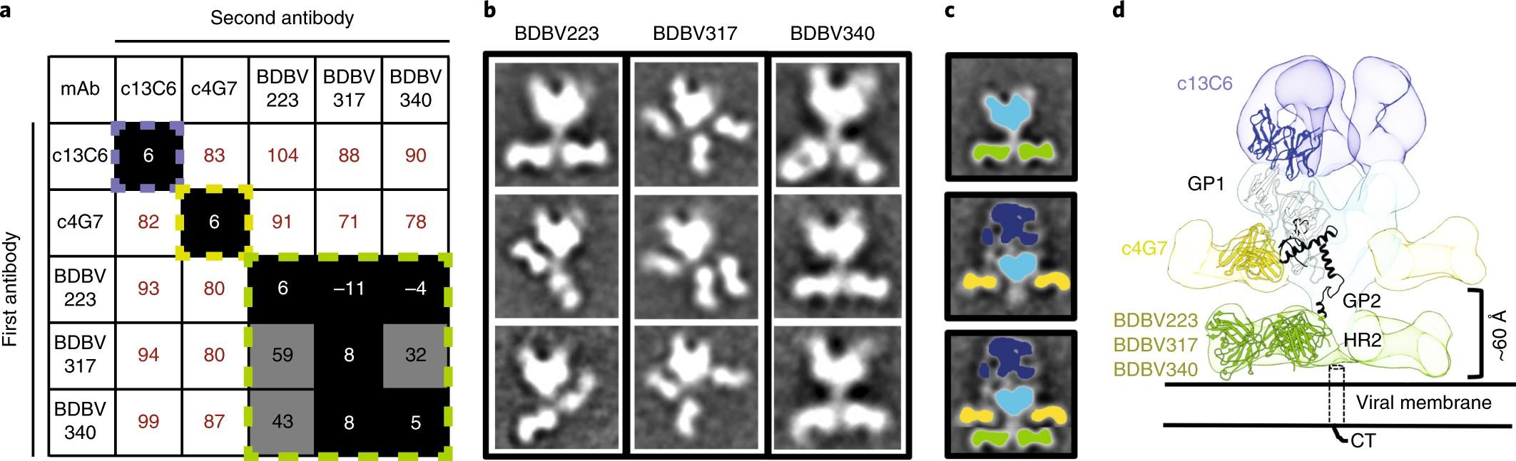 Broadly neutralizing antibodies from human survivors target