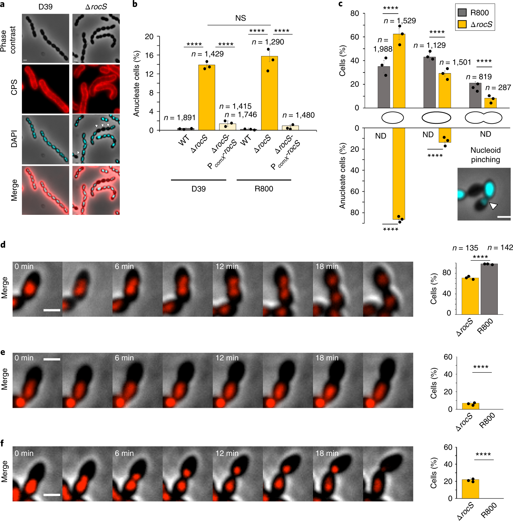 Rocs Drives Chromosome Segregation And Nucleoid Protection