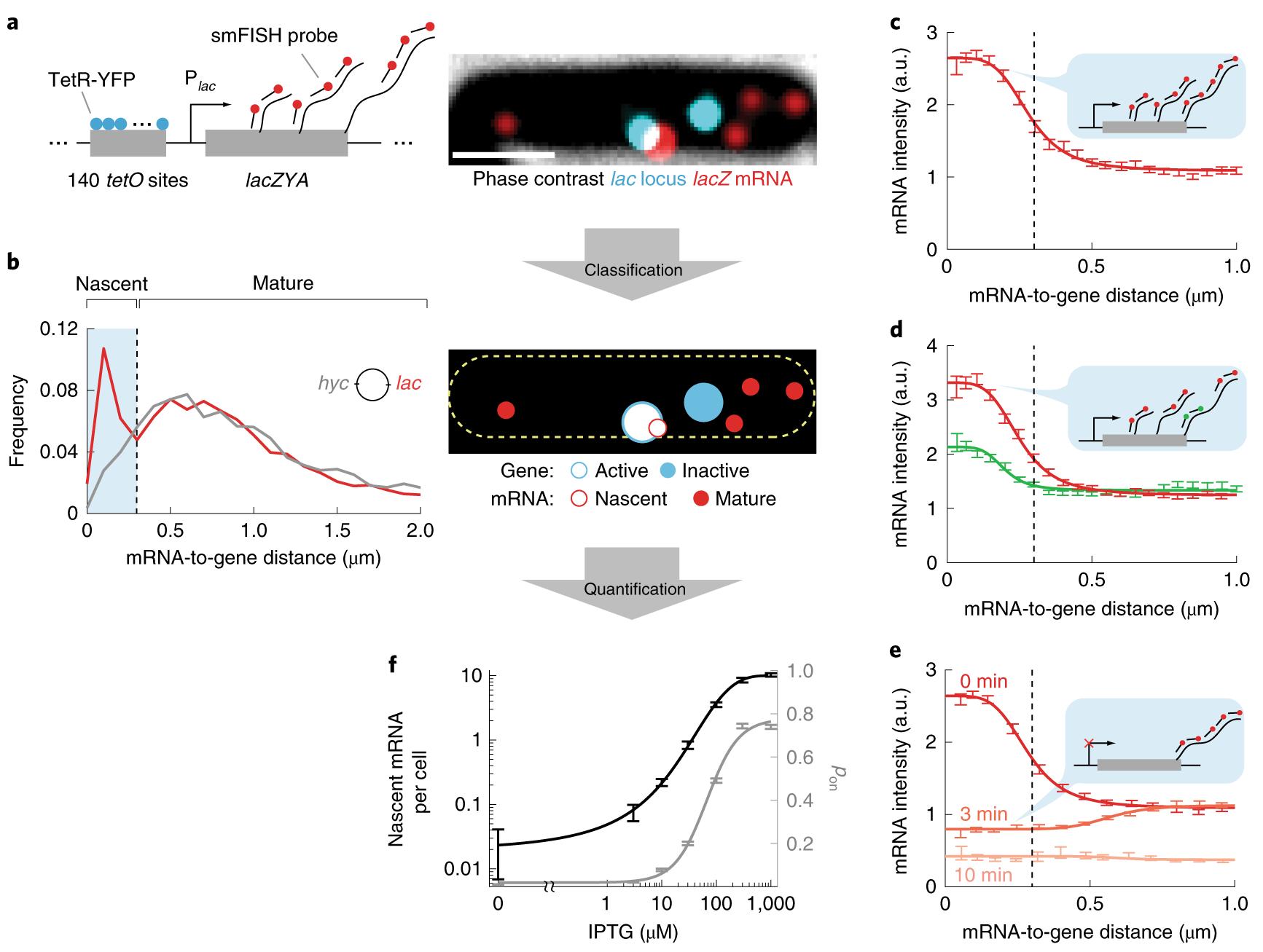 Measuring transcription at a single gene copy reveals hidden drivers o