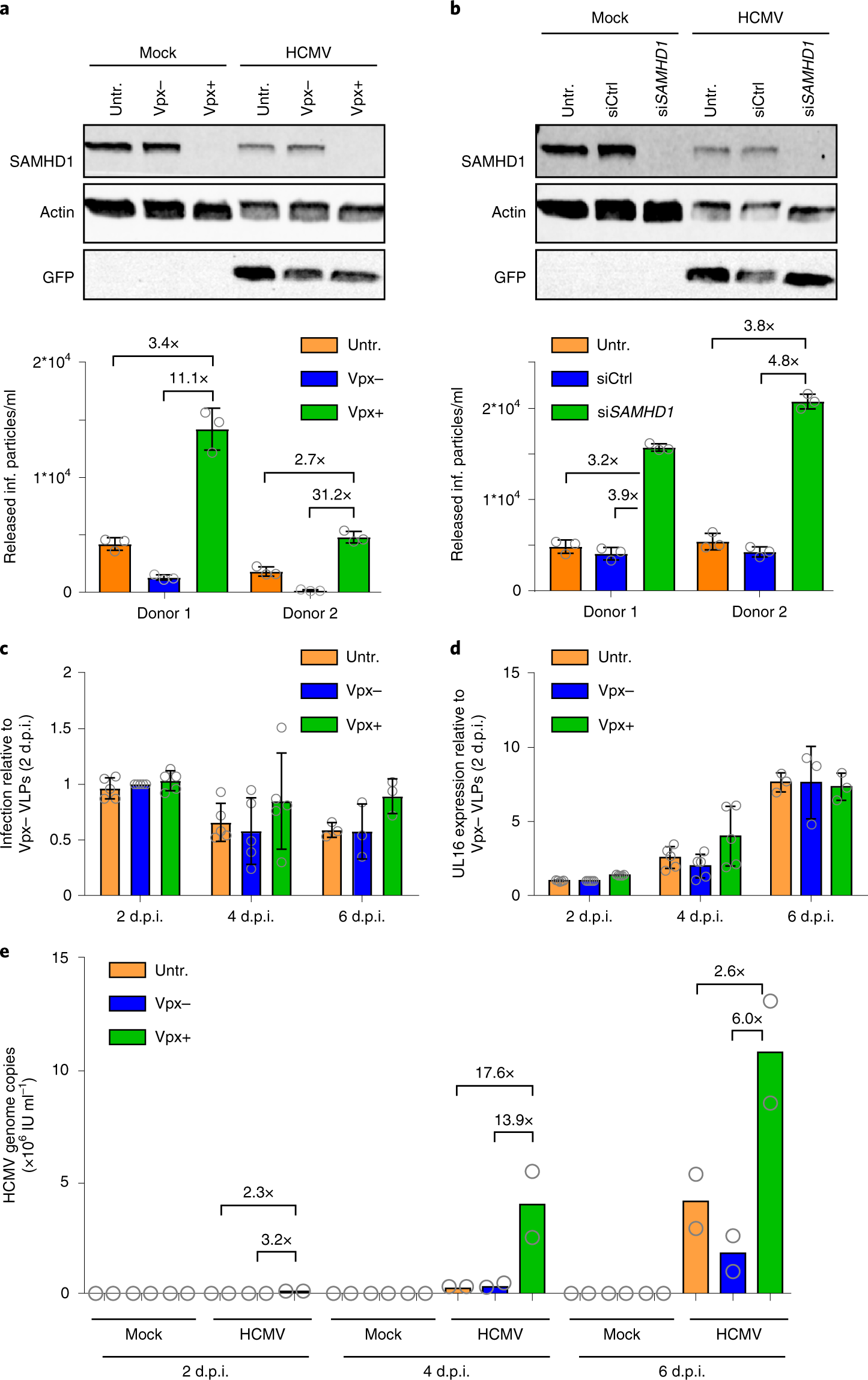 Human cytomegalovirus overcomes SAMHD1 restriction in macrophages via