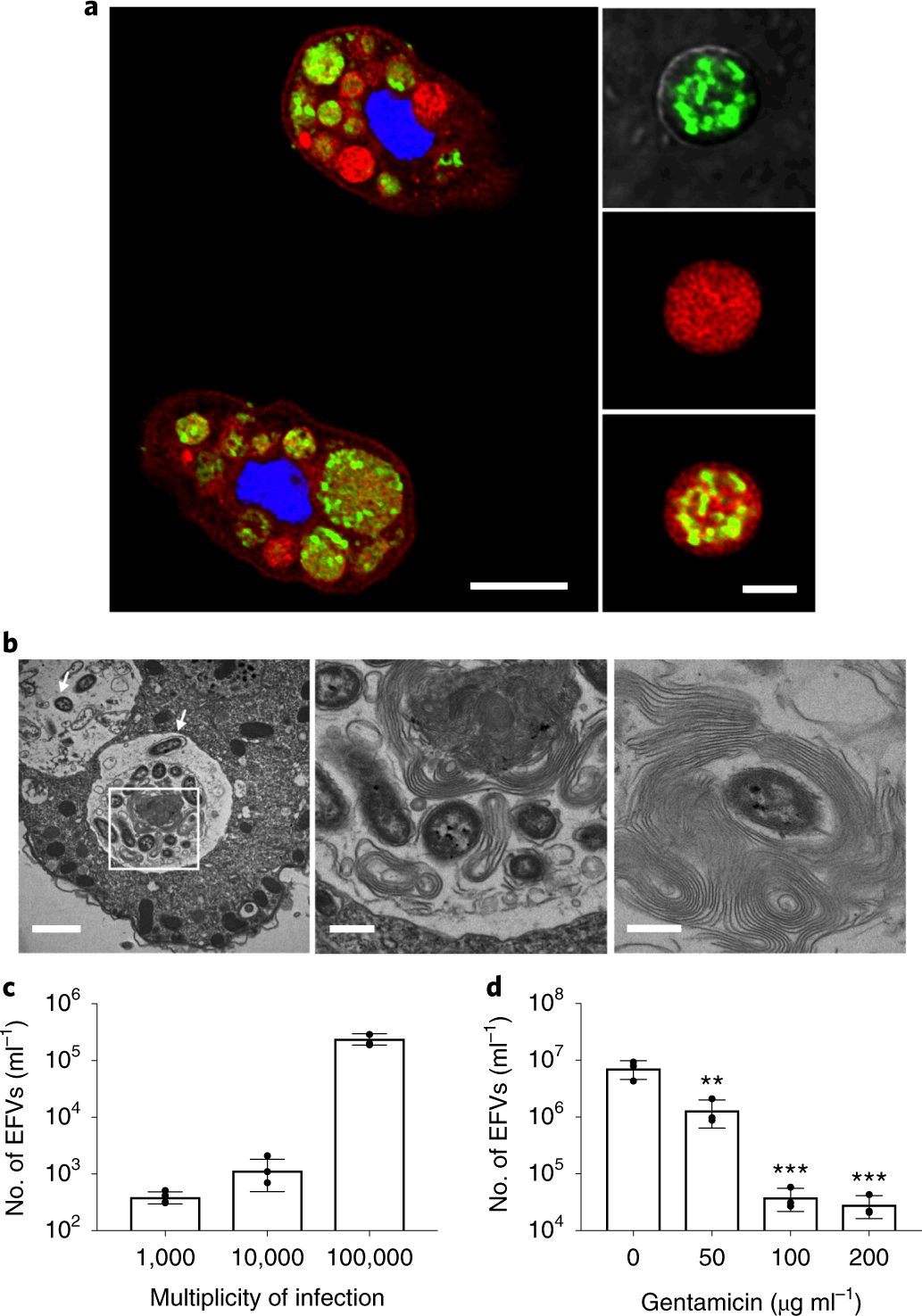 Vibrio cholerae residing in food vacuoles expelled by protozoa are mor