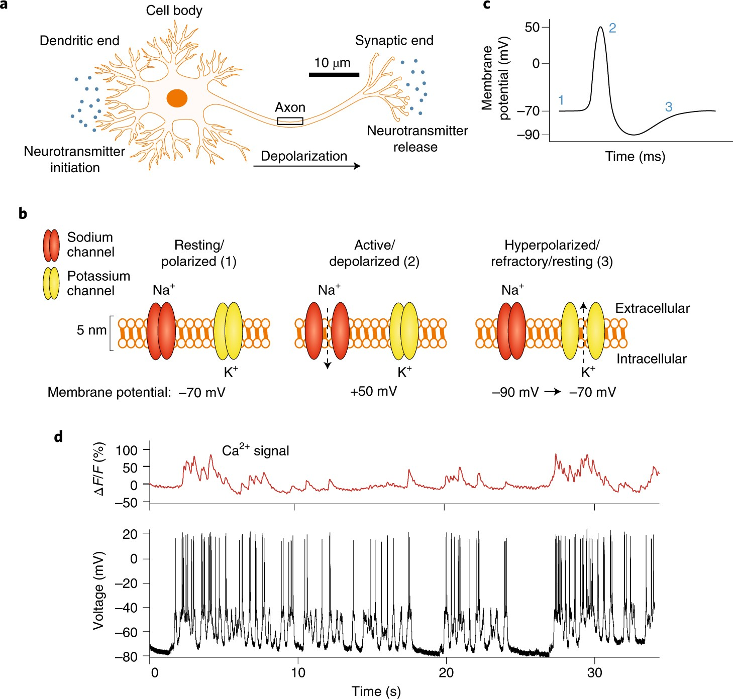 Evaluating the potential of using quantum dots for monitoring electrical  signals in neurons | Nature Nanotechnology