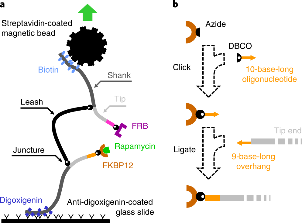 A modular DNA scaffold to study protein–protein interactions at