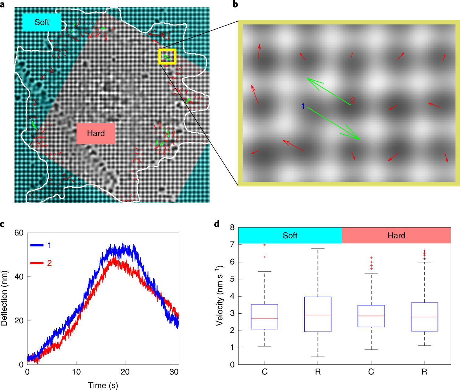 Large and reversible myosin-dependent forces in rigidity sensing
