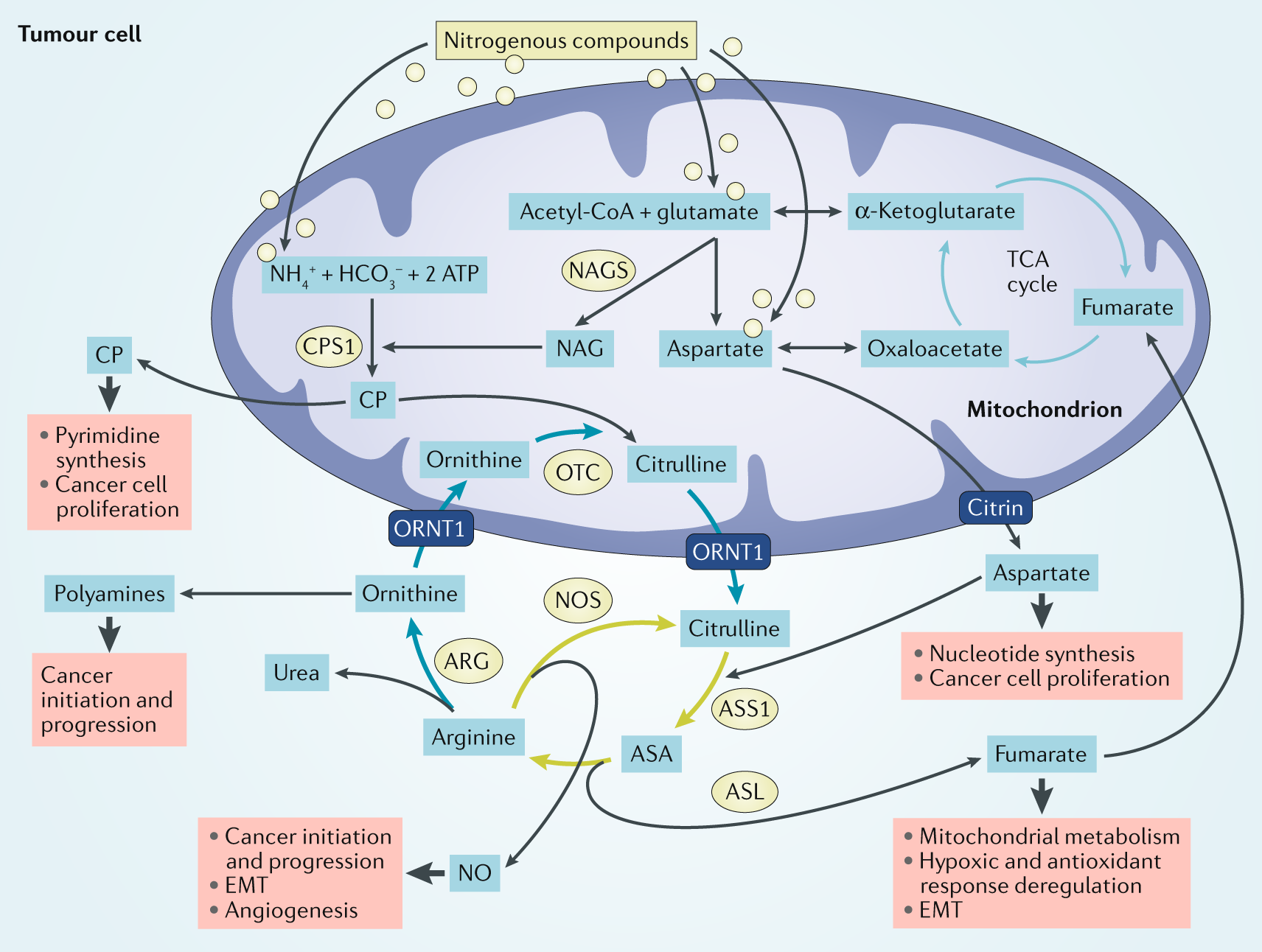 Rewiring urea cycle metabolism in cancer to support
