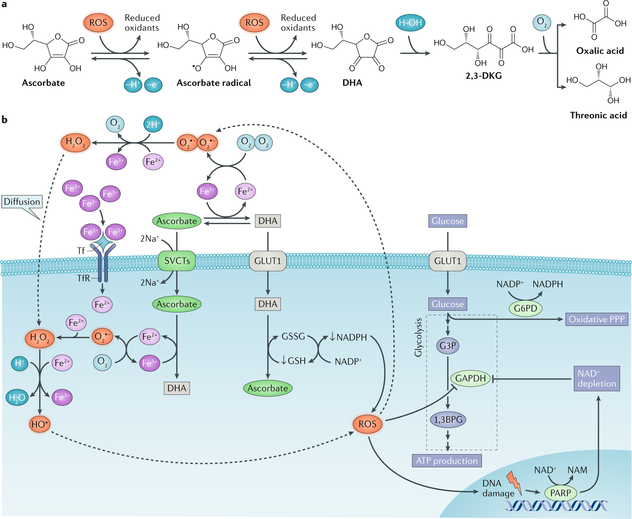 Targeting cancer vulnerabilities with high-dose vitamin C | Nature