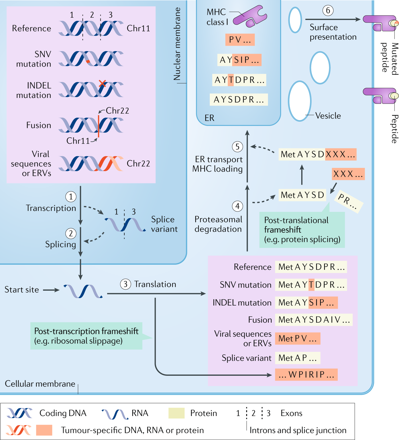 Alternative tumour-specific antigens | Nature Reviews Cancer
