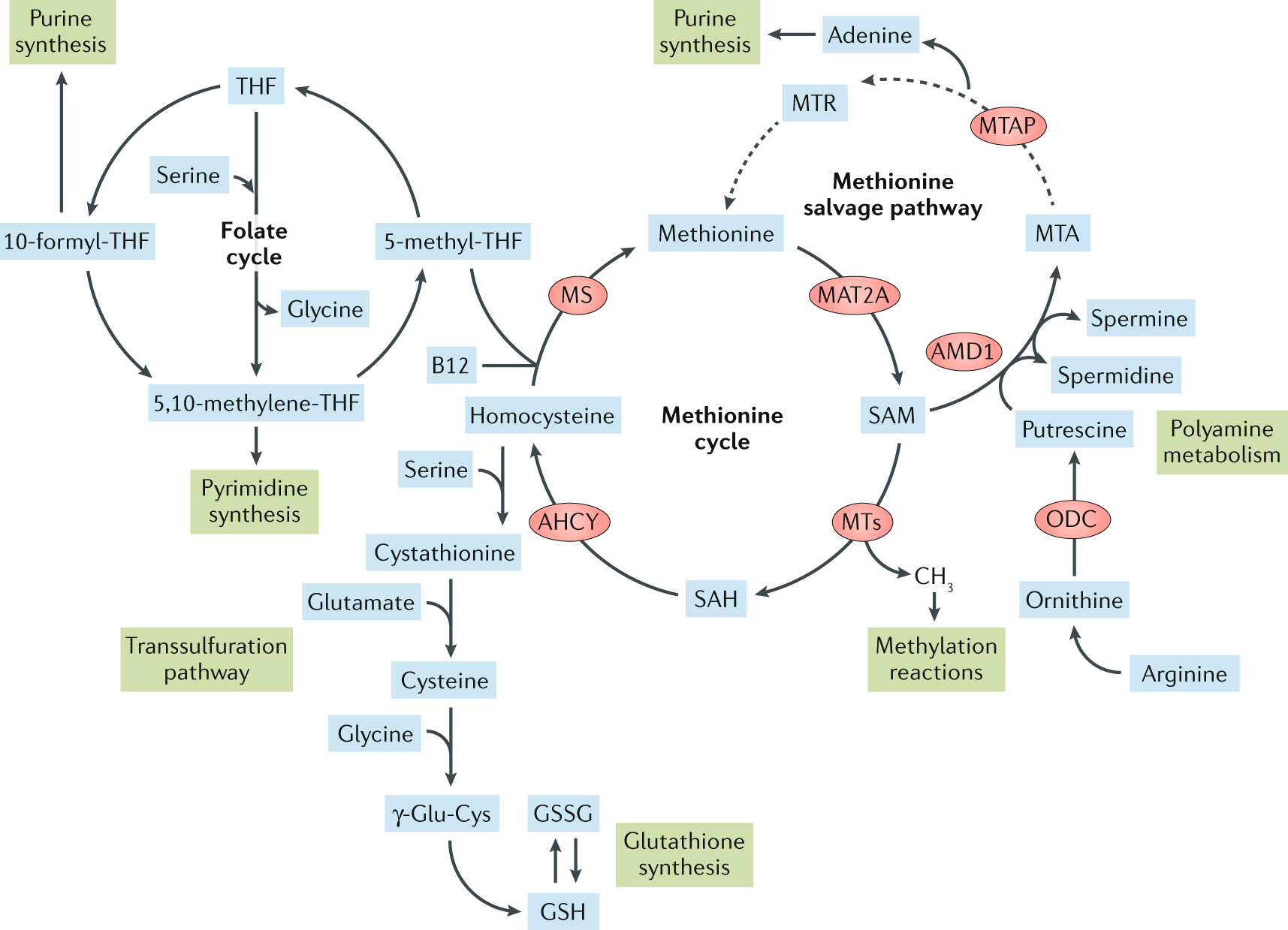 Methionine metabolism in health and cancer: a nexus of diet and precis