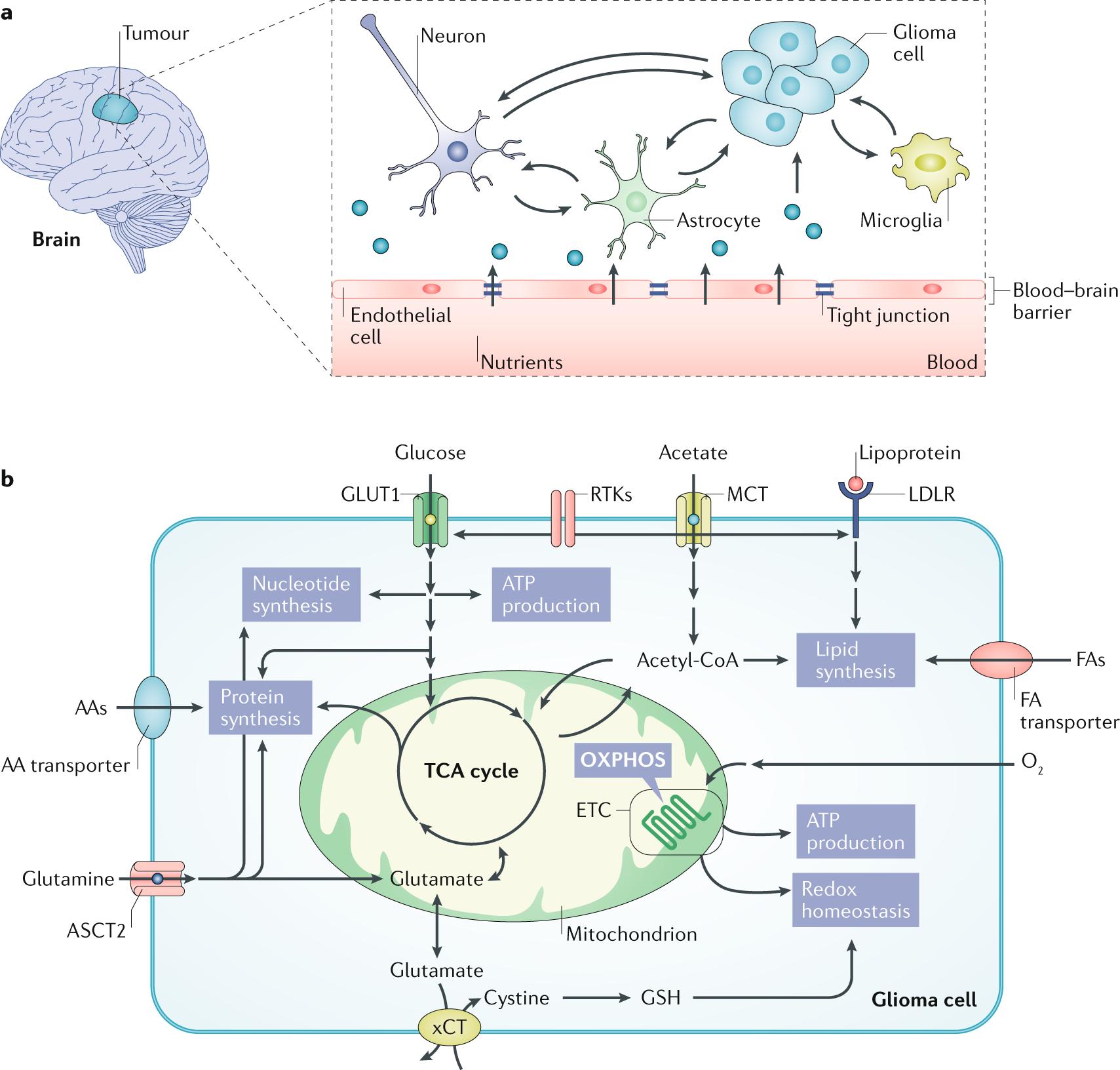 Altered cellular metabolism in gliomas — an emerging landscape o